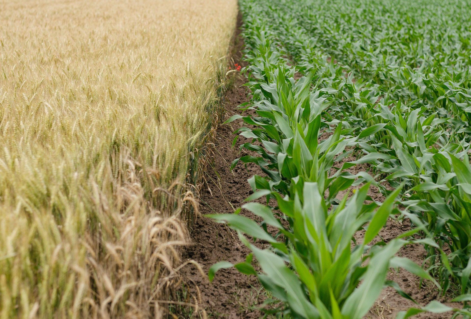 plantación, agricultura, arroz, maiz, plantas, campos - Fondos de Pantalla HD - professor-falken.com