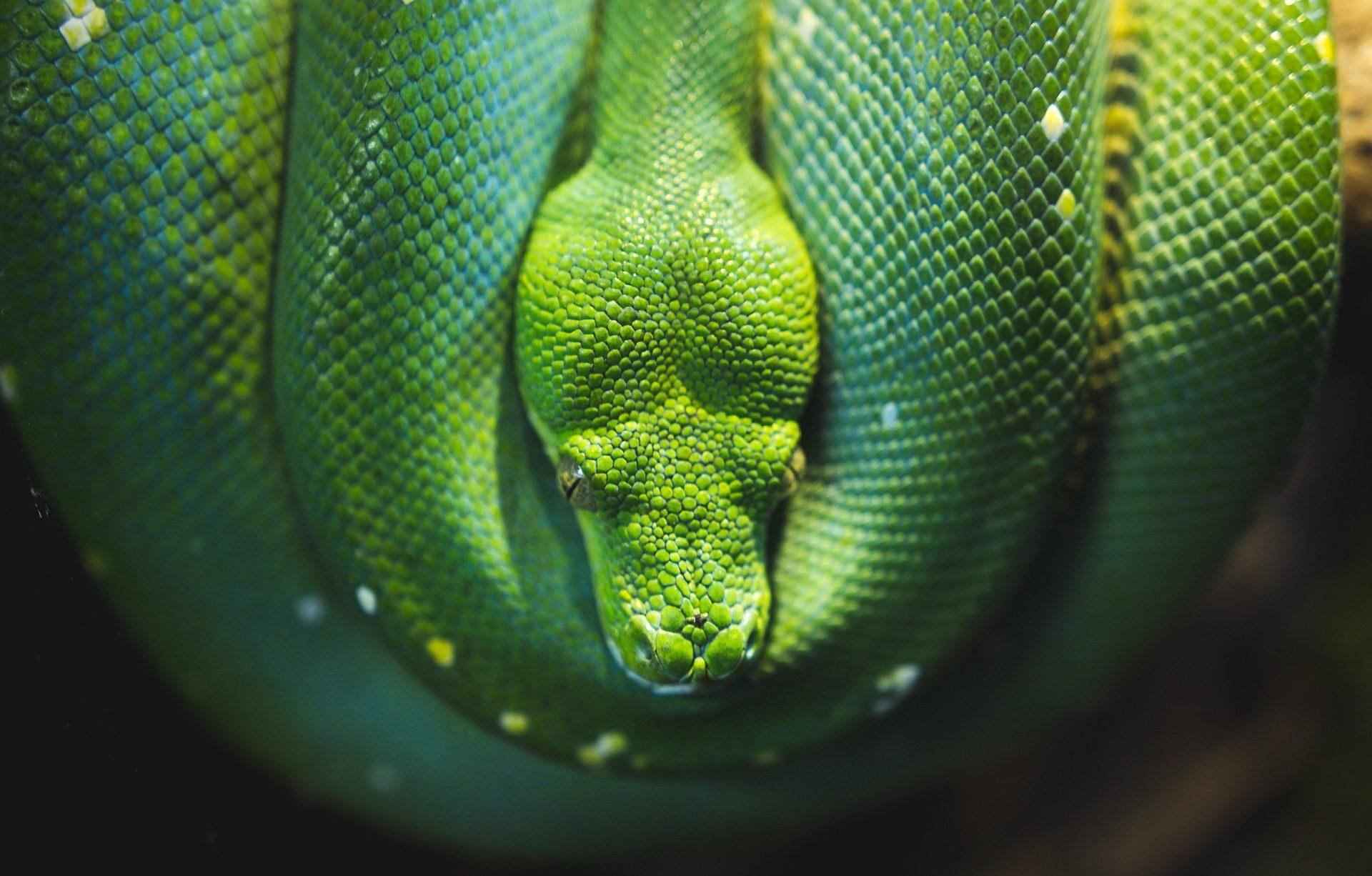 Snake, Augen, Haut, Skalen, Reptil, Grün - Wallpaper HD - Prof.-falken.com