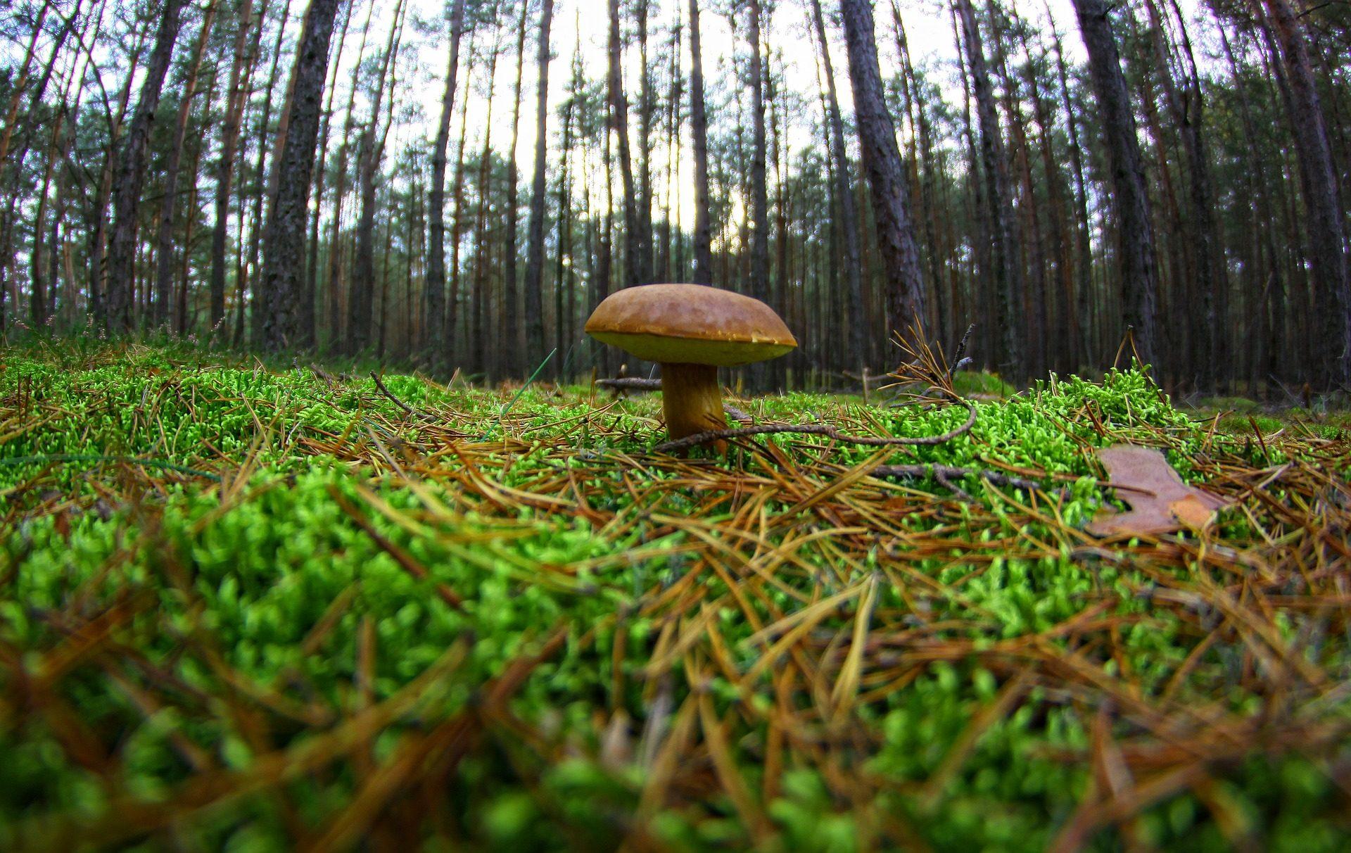 सेठ, मशरूम, वन, पेड़, नमी, घास - HD वॉलपेपर - प्रोफेसर-falken.com