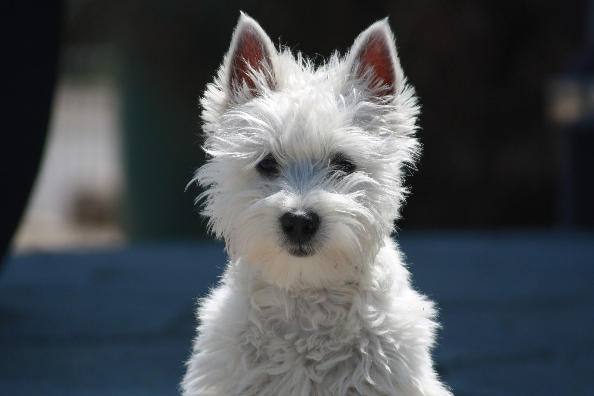 小猎犬, 狗, 宠物, 软, 毛皮 - 高清壁纸 - 教授-falken.com
