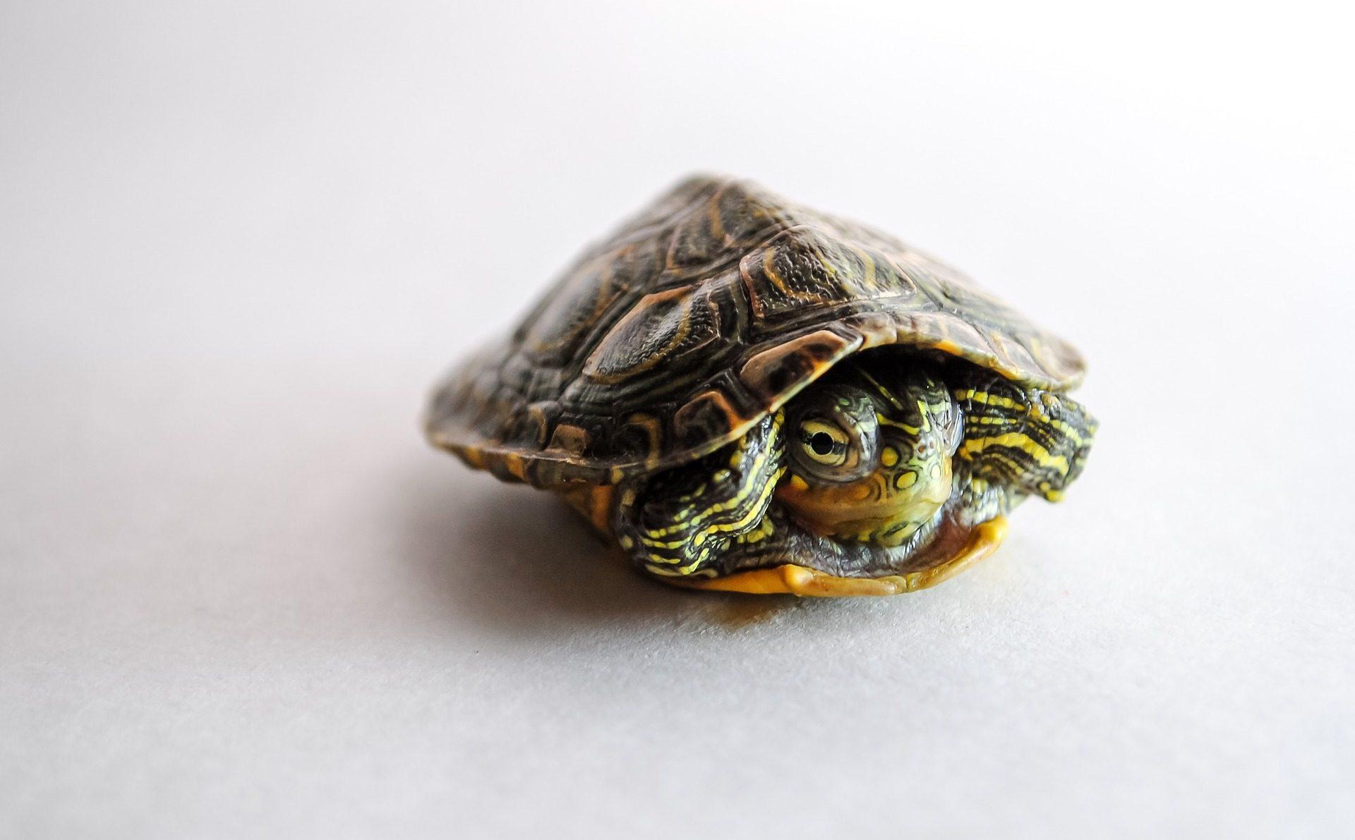 海龟, 壳, 隐藏, 害怕, 爬行动物 - 高清壁纸 - 教授-falken.com