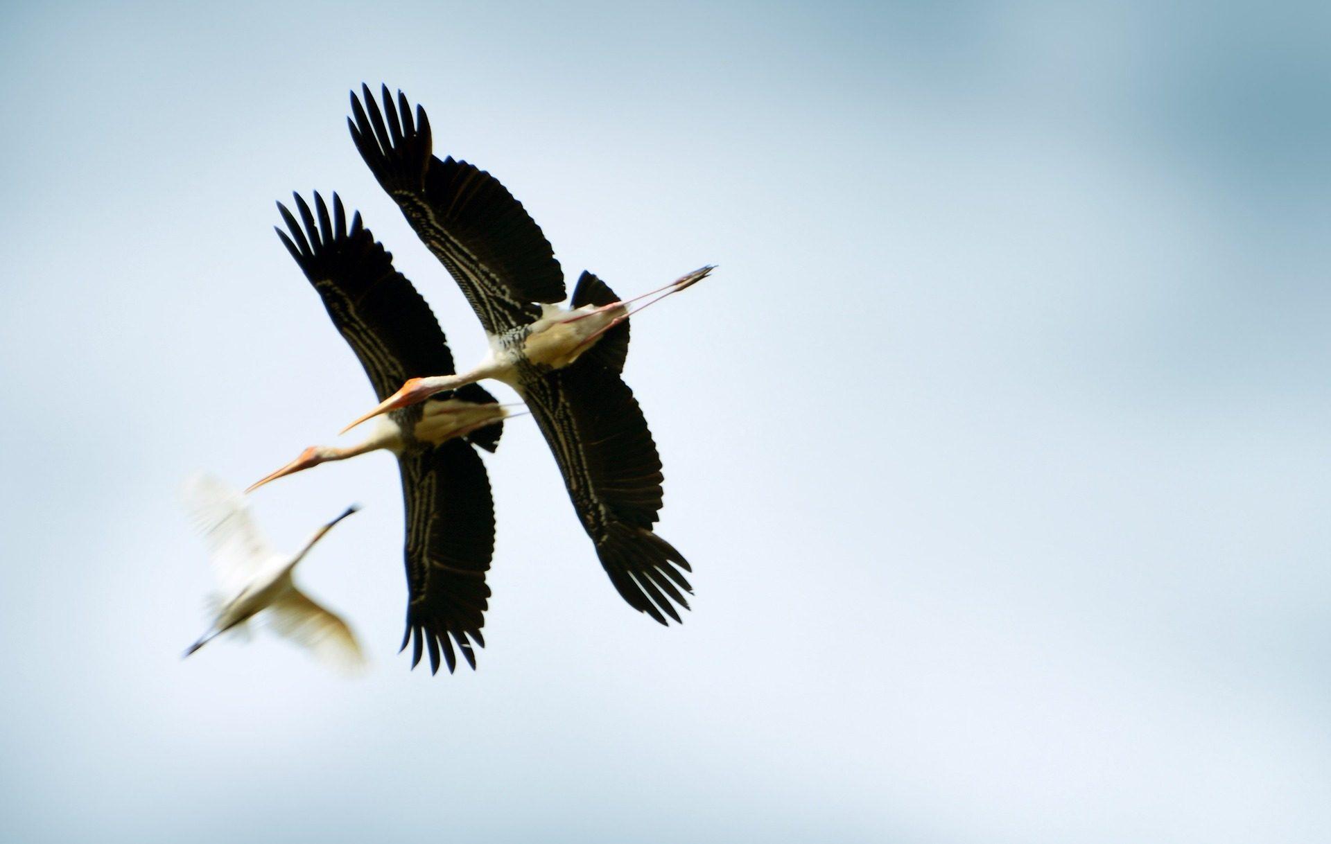 aves, oiseaux, ailes, envergure, mouche - Fonds d'écran HD - Professor-falken.com