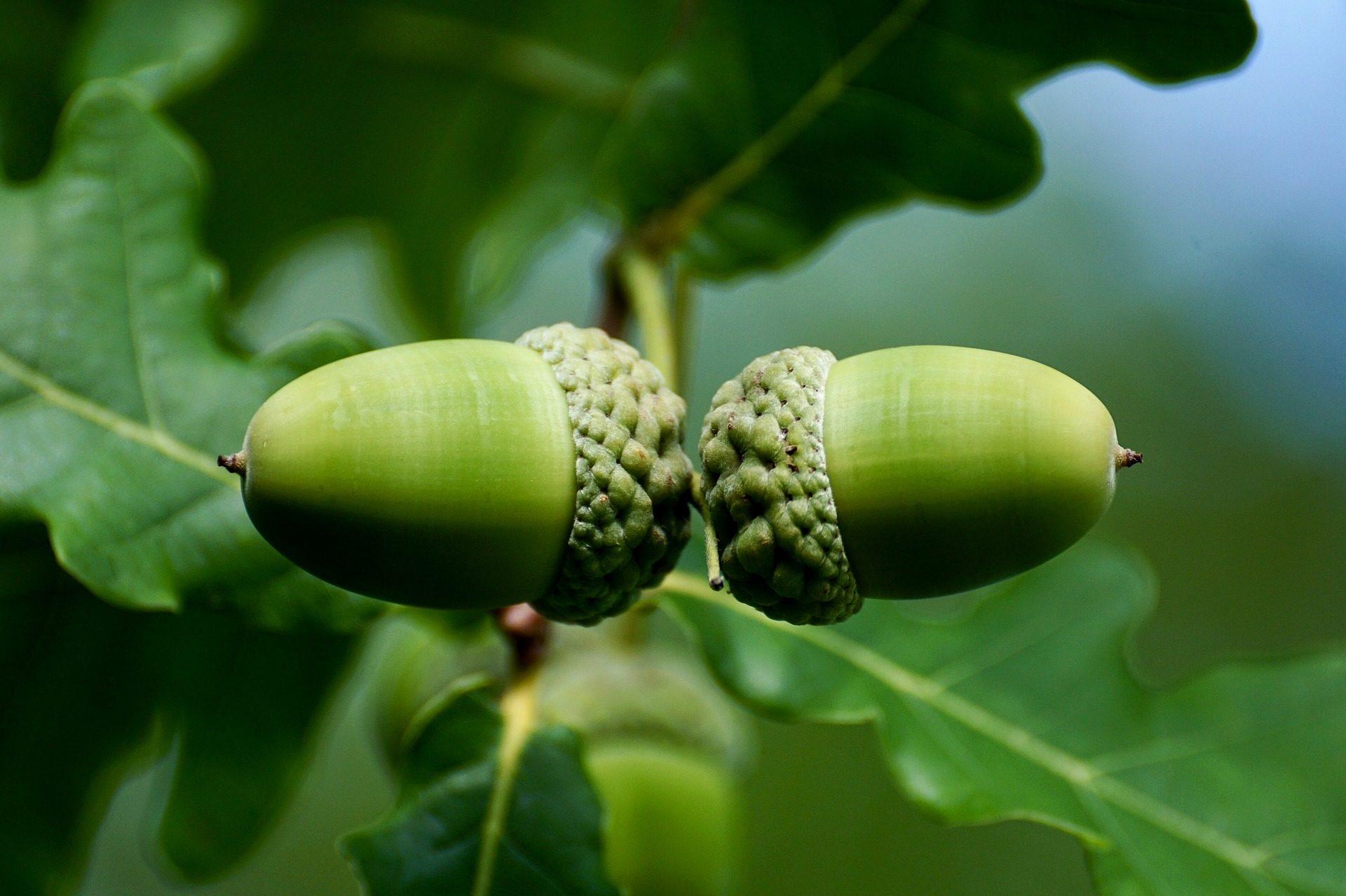 Βελανίδια, φρούτα, κοχύλια, δέντρο, υποκατάστημα, Encina - Wallpapers HD - Professor-falken.com