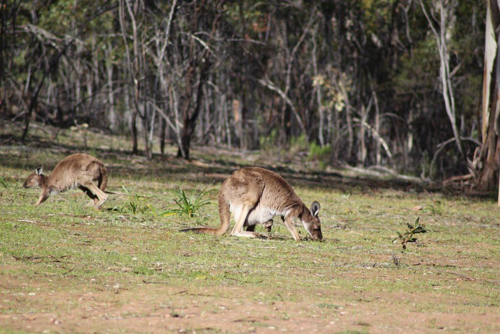 canguro, marsupial, bosque, campo, australia, 1712151852
