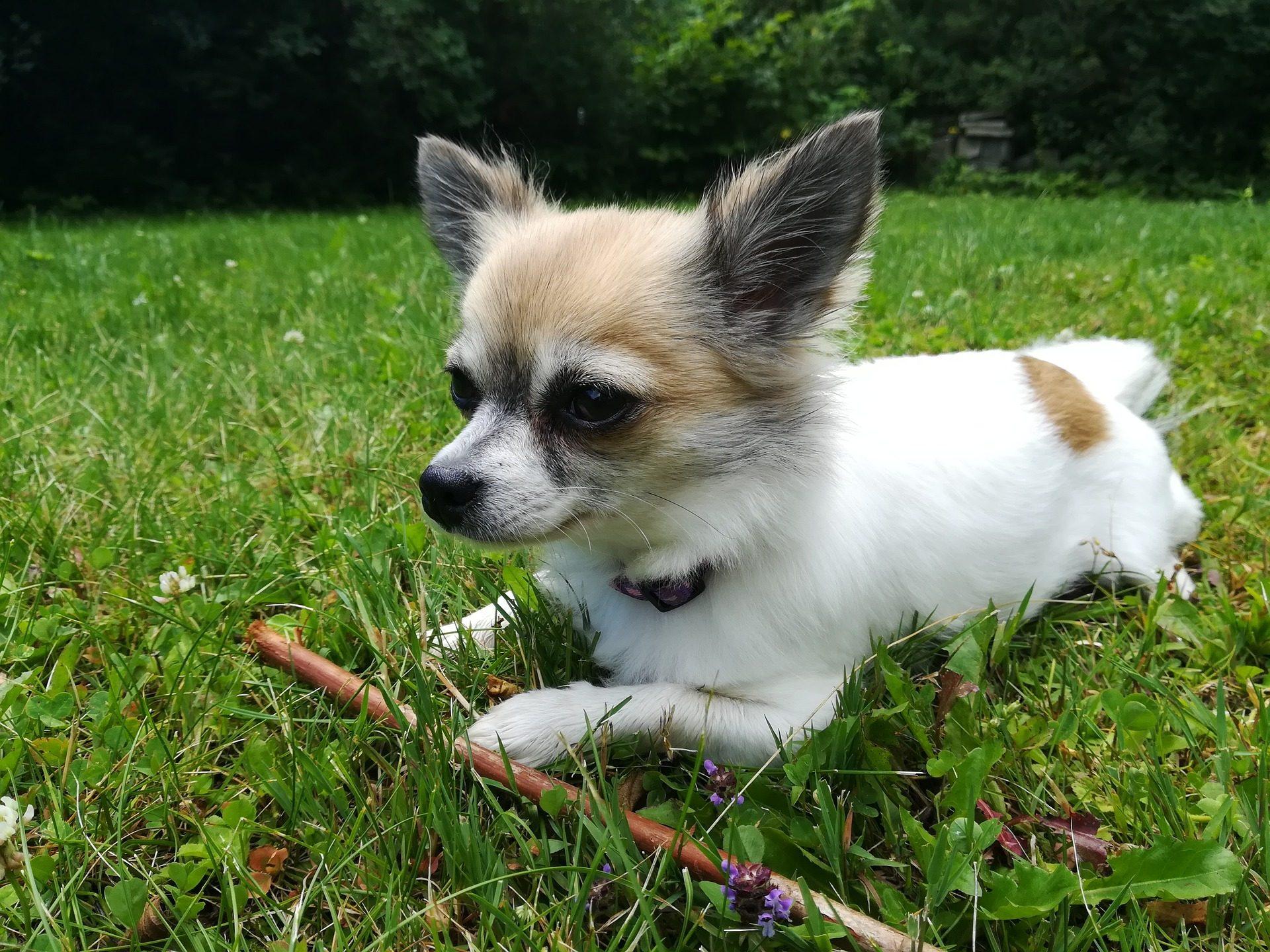 perro chihuahua fondo de - photo #7