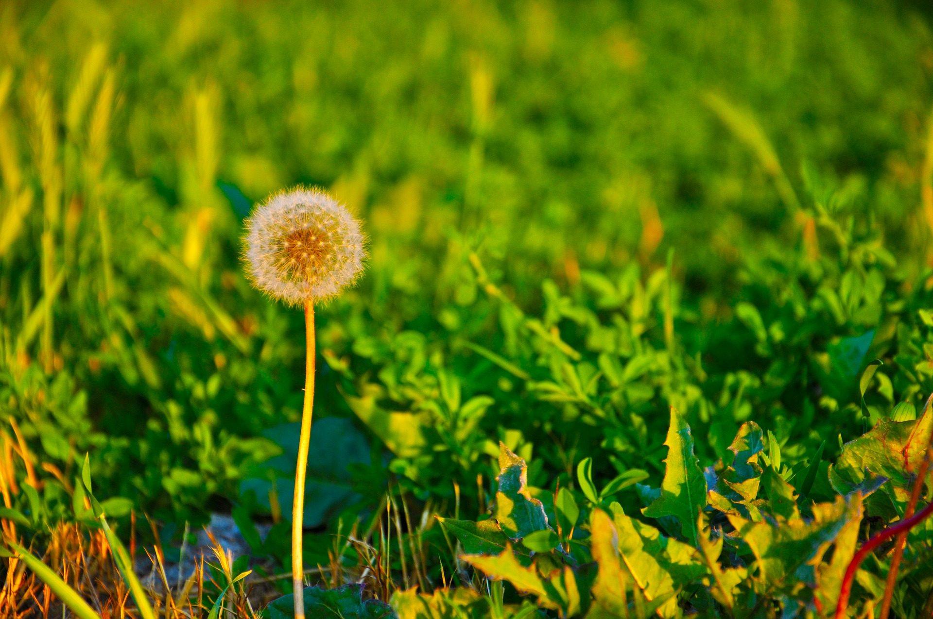 Одуванчик, Первый этаж, цветок, поле, трава, стебель - Обои HD - Профессор falken.com