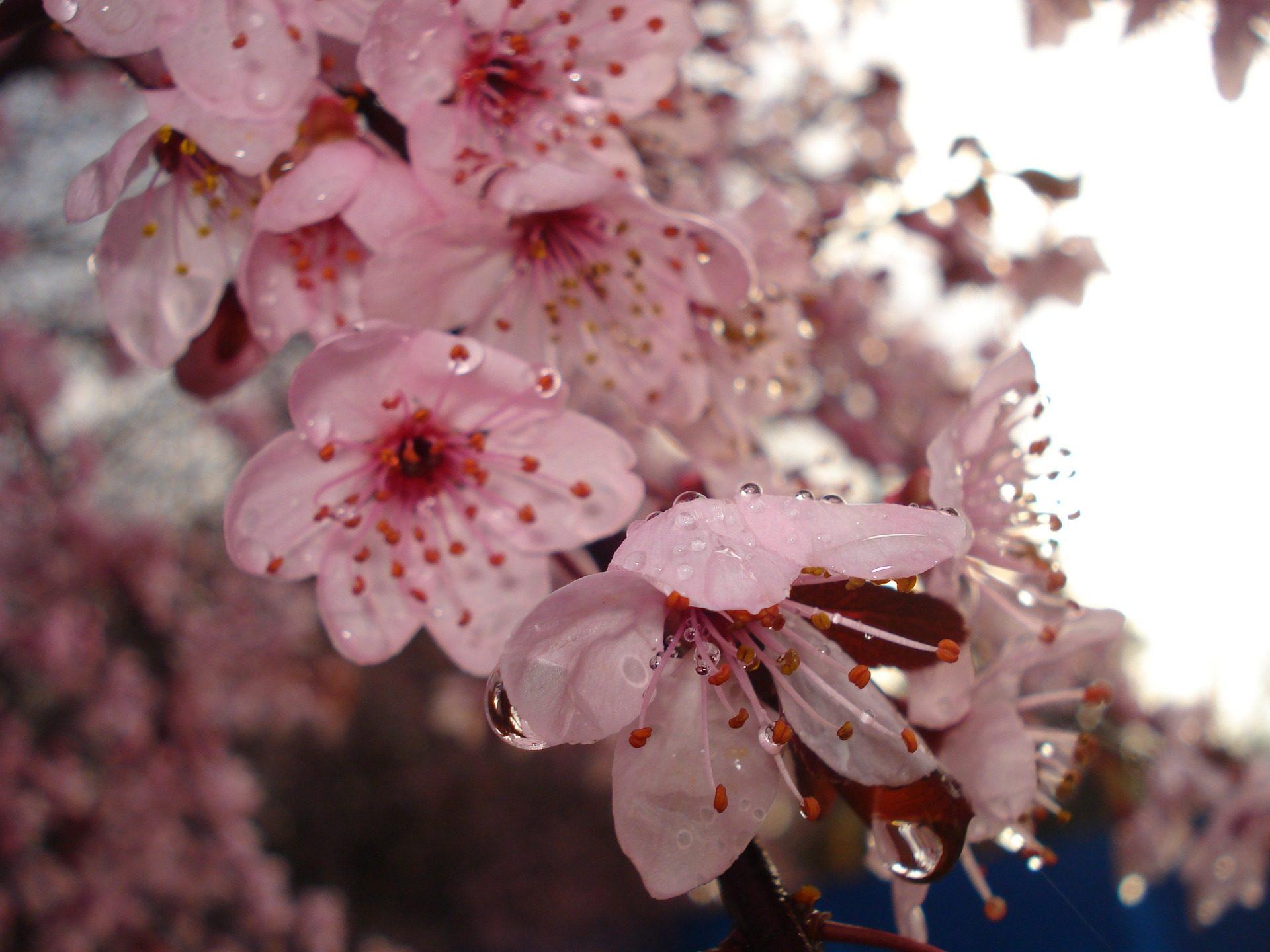 flores, pétalos, gotas, agua, rocío, pistilos, estambres, de cerca - Fondos de Pantalla HD - professor-falken.com