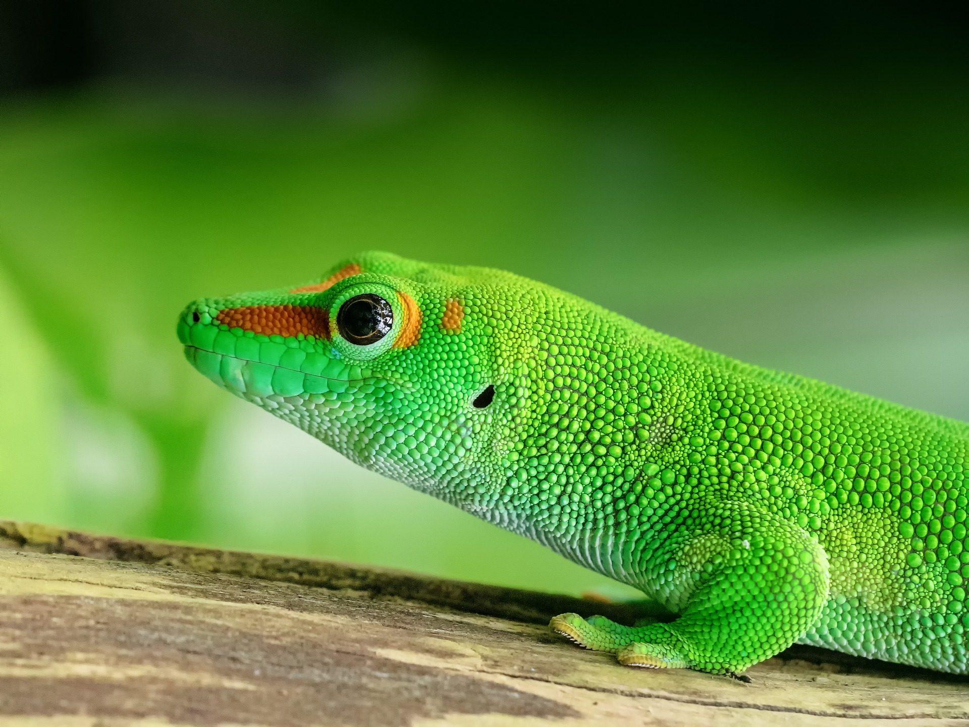 Gecko, lagartija, Eidechse, Reptil, Haut, Madagaskar - Wallpaper HD - Prof.-falken.com