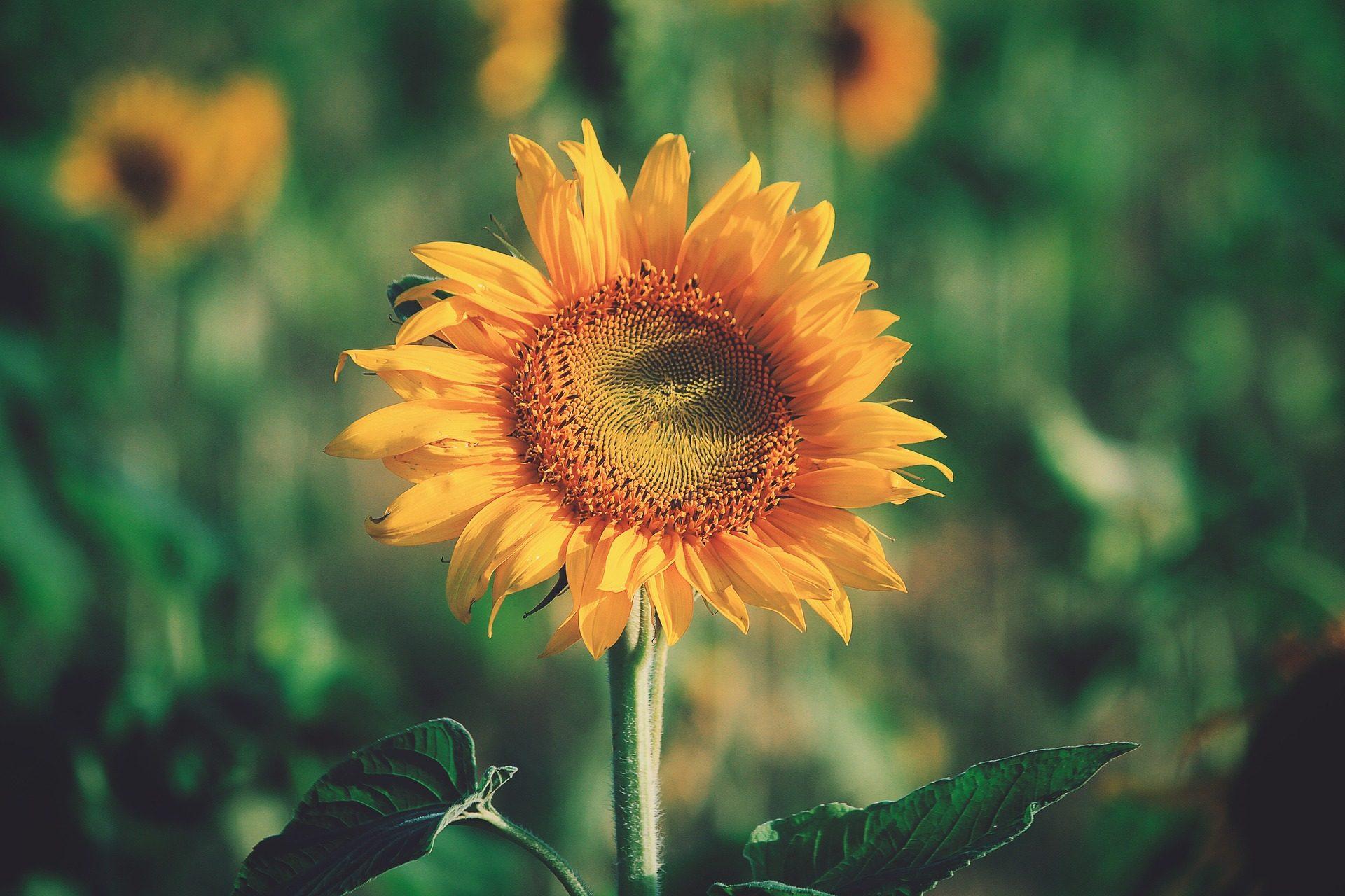 عباد الشمس, زهرة, مصنع, زراعة, مزرعة, حول - خلفيات عالية الدقة - أستاذ falken.com
