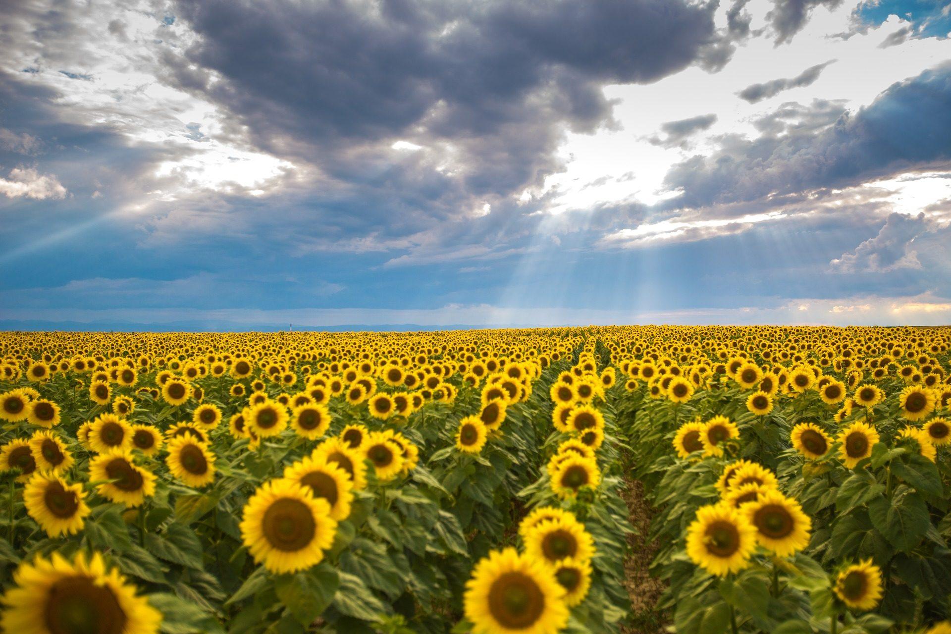 Ηλιοτρόπια, Φυτεία, καλλιέργεια, φυτά, Ουρανός, νεφελώδης, σύννεφα - Wallpapers HD - Professor-falken.com