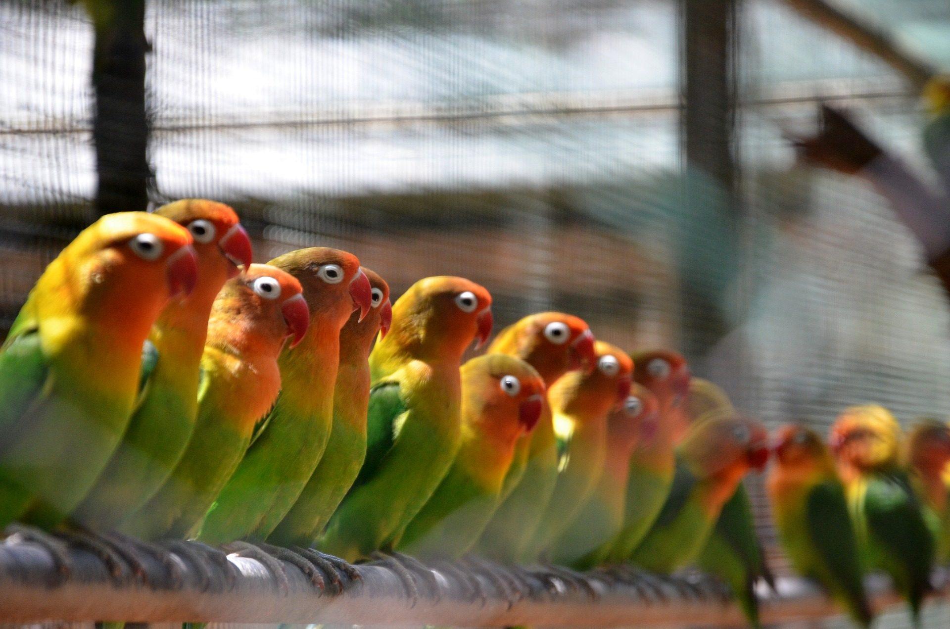 inseparabili, uccelli, parrocchetti, livree, colorato - Sfondi HD - Professor-falken.com