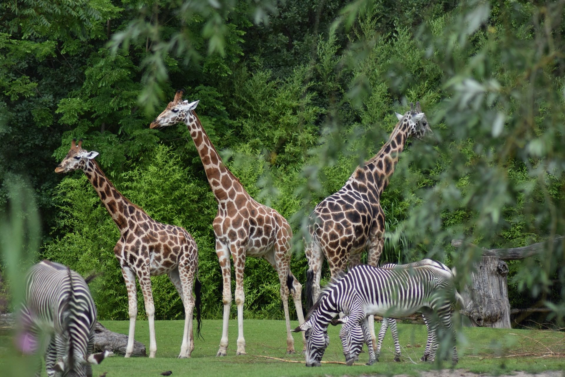 girafas, zebras, jardim zoológico, Reserva, árvores - Papéis de parede HD - Professor-falken.com