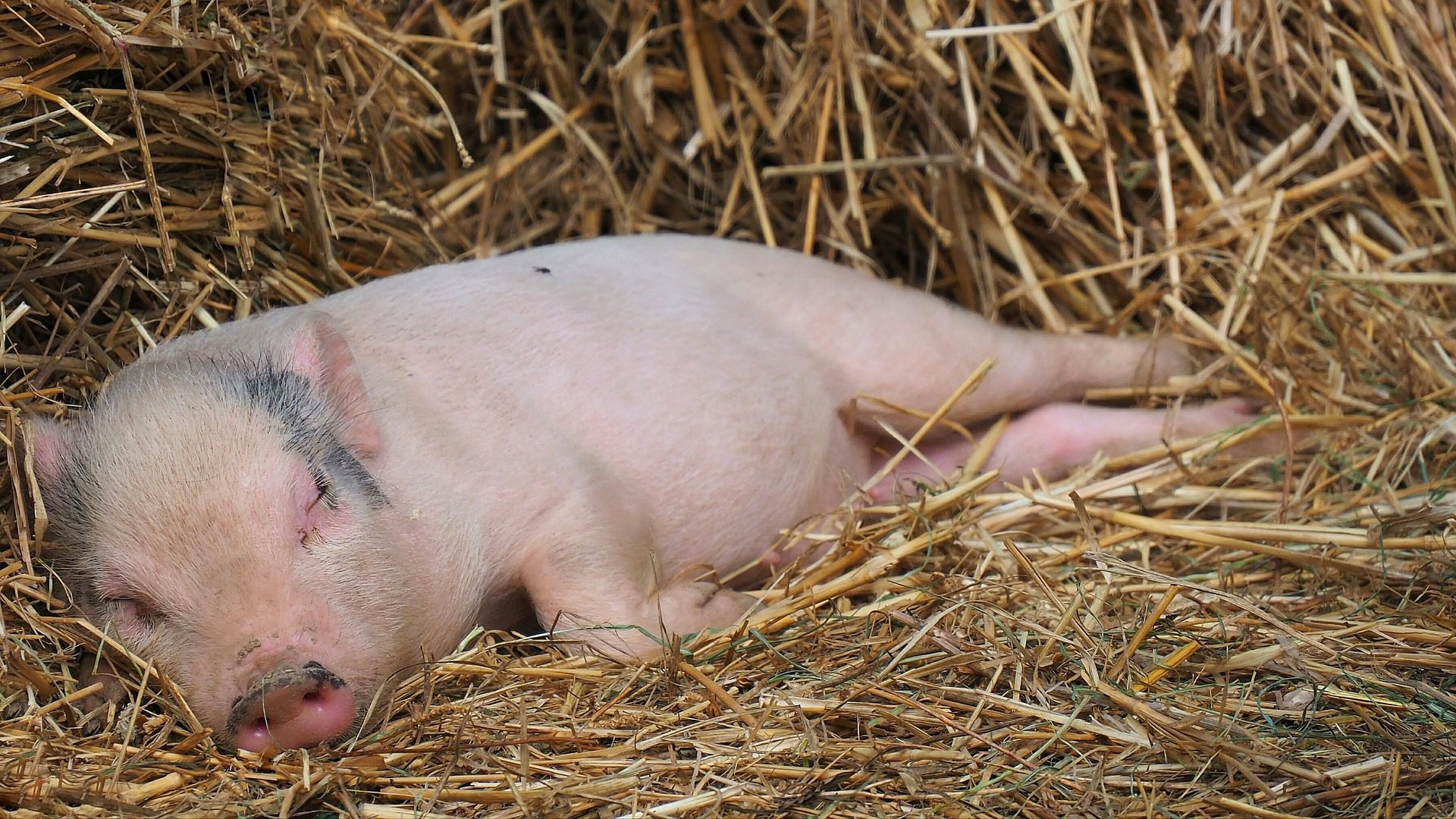 lechón, cerdo, cochino, dormido, paja - Fondos de Pantalla HD - professor-falken.com