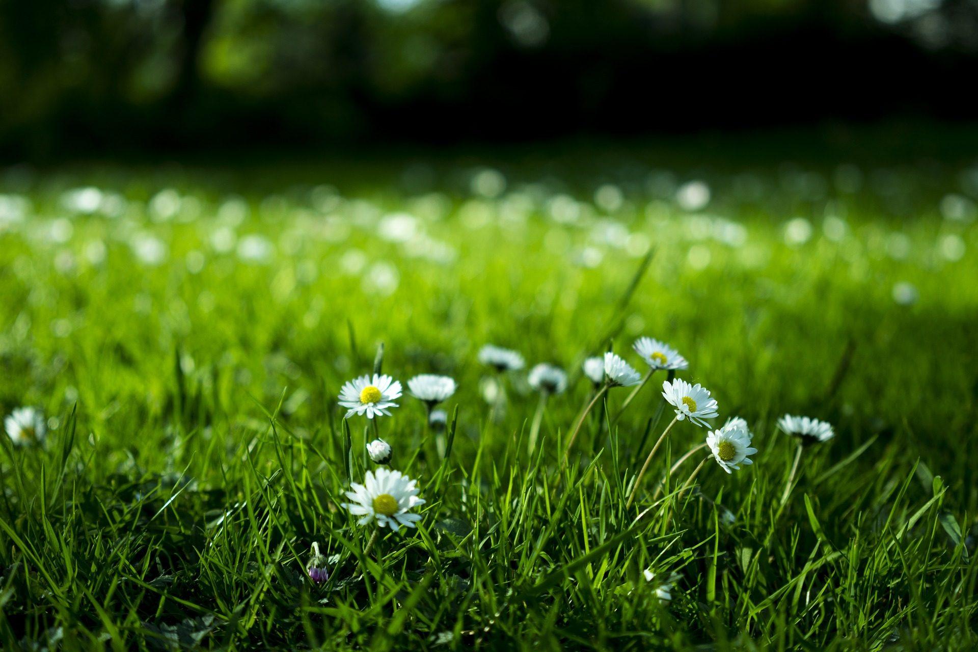margaritas, गार्डन, घास, फूल, संयंत्रों - HD वॉलपेपर - प्रोफेसर-falken.com