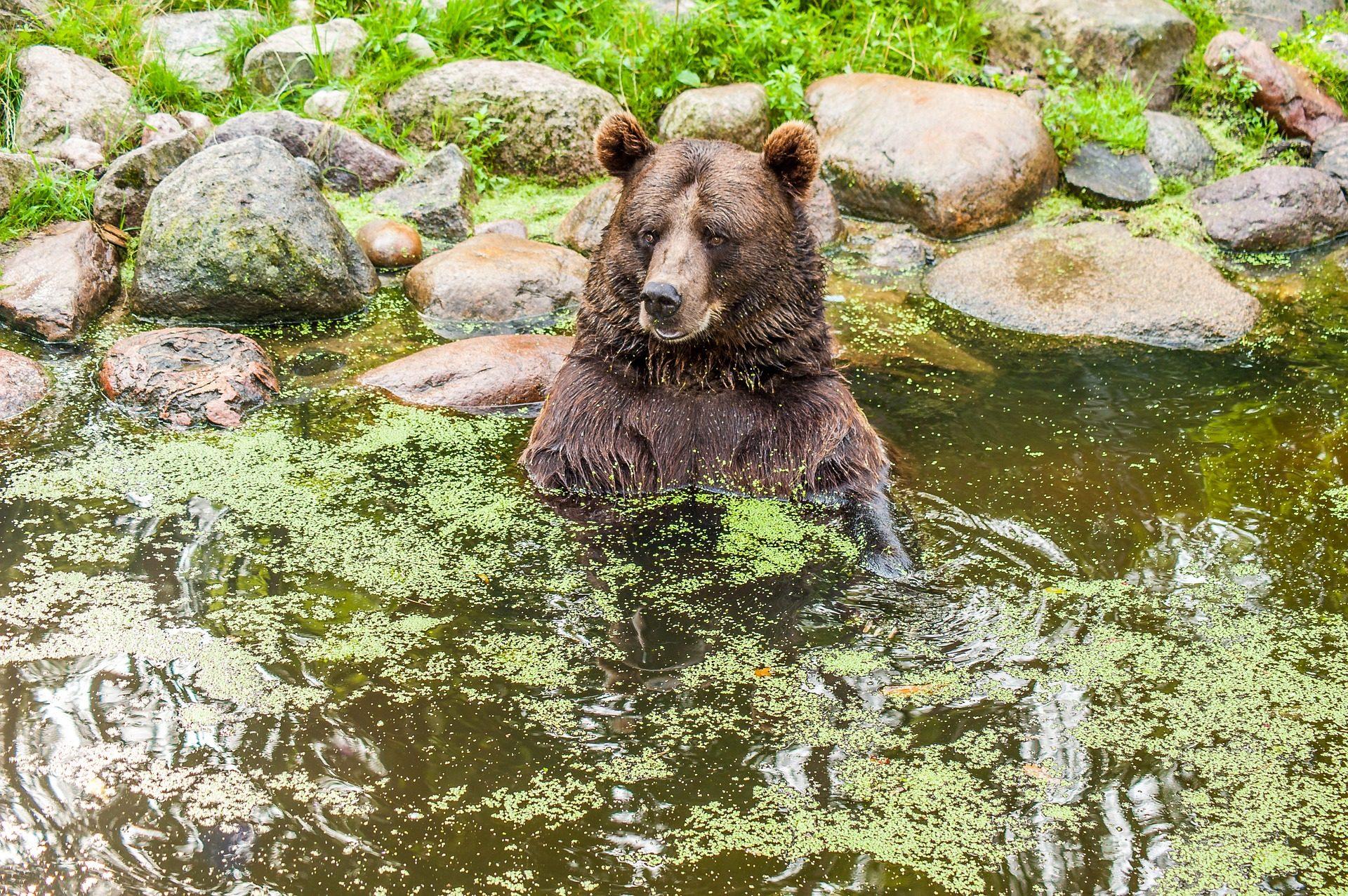 urso, casa de banho, charca, pedras, algas, vegetación, Relaxe - Papéis de parede HD - Professor-falken.com
