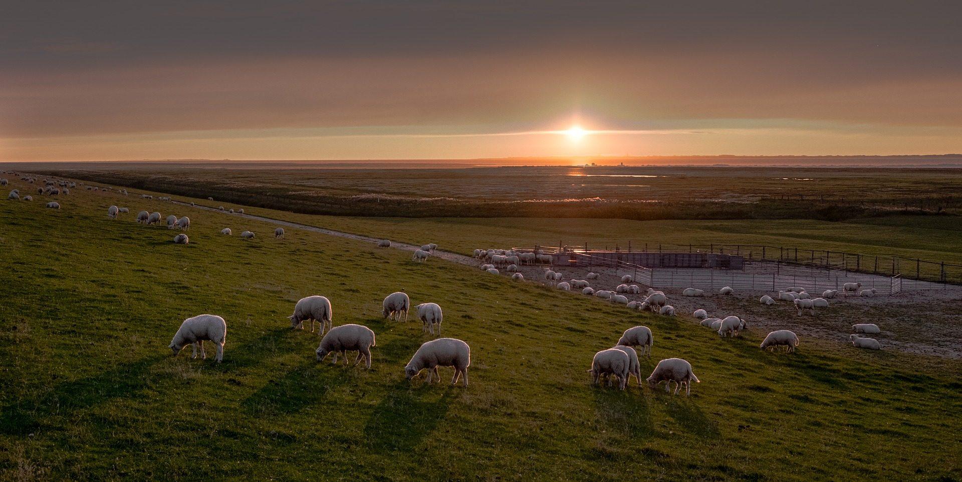 羊, 羊群, 放牧, 牲畜, 普拉多, 太阳, 日落 - 高清壁纸 - 教授-falken.com