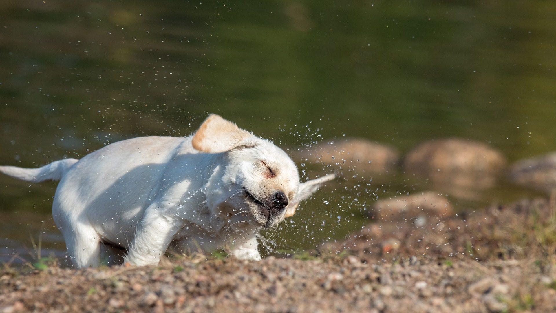 cane, Cucciolo, Animale domestico, acqua, bagnato - Sfondi HD - Professor-falken.com