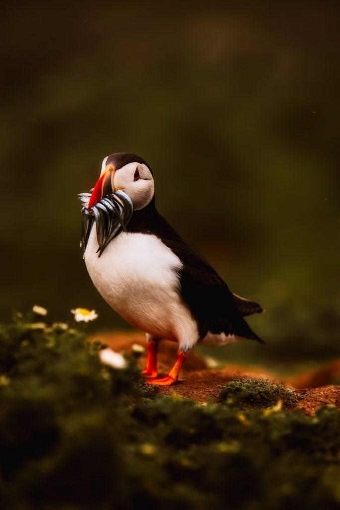 pingüino, pico, pescado, plumaje, ave, 1712271758