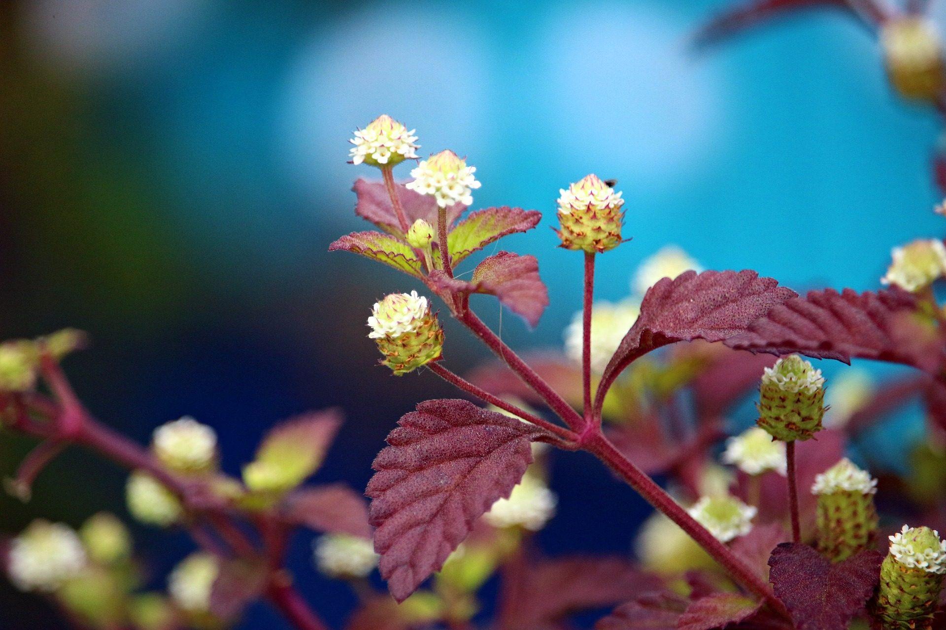 planta, flor, repollo dulce, medicinal, azteca - Fondos de Pantalla HD - professor-falken.com