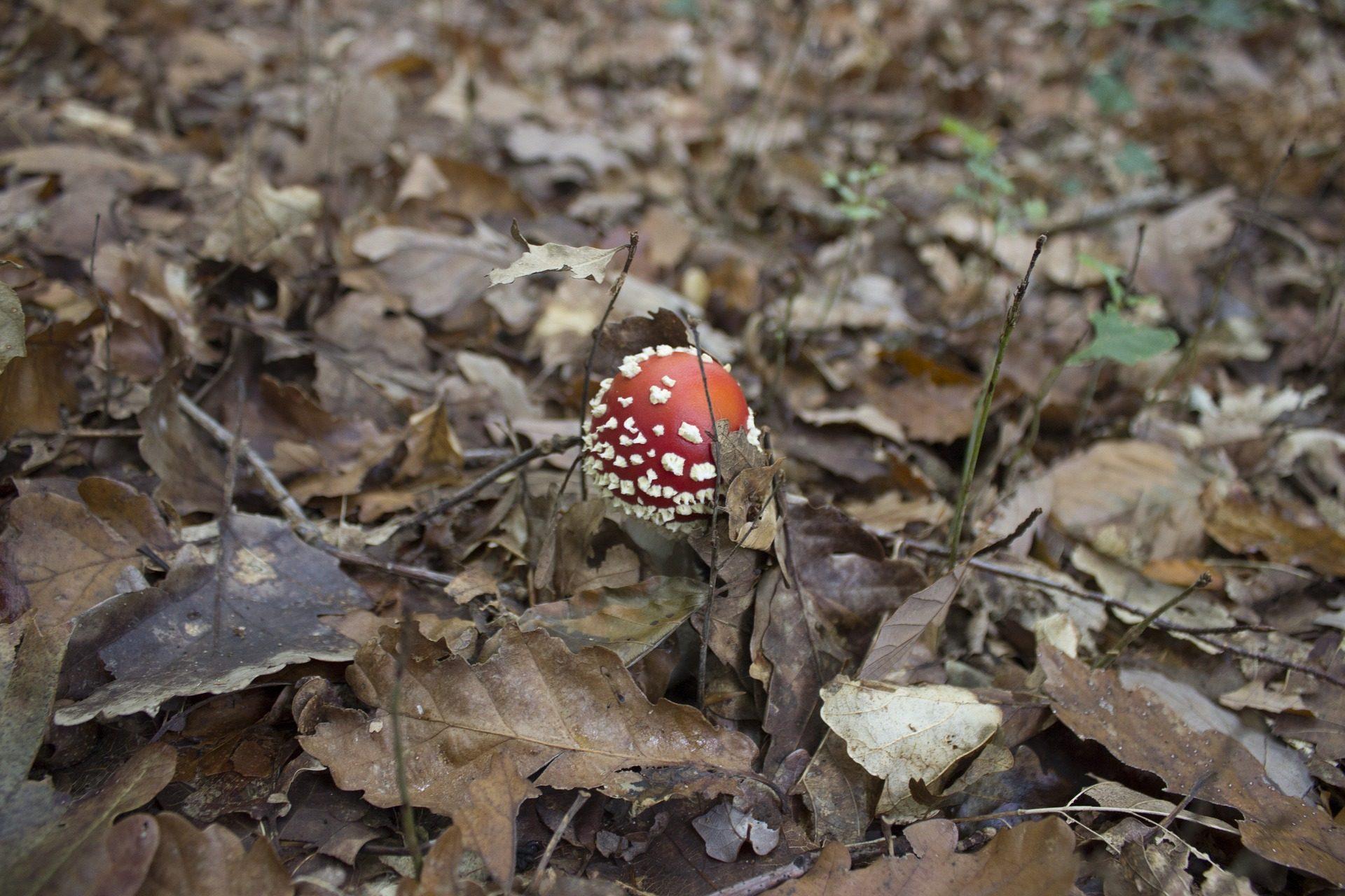 seta, hongo, suelo, campo, hojarasca, hojas - Fondos de Pantalla HD - professor-falken.com