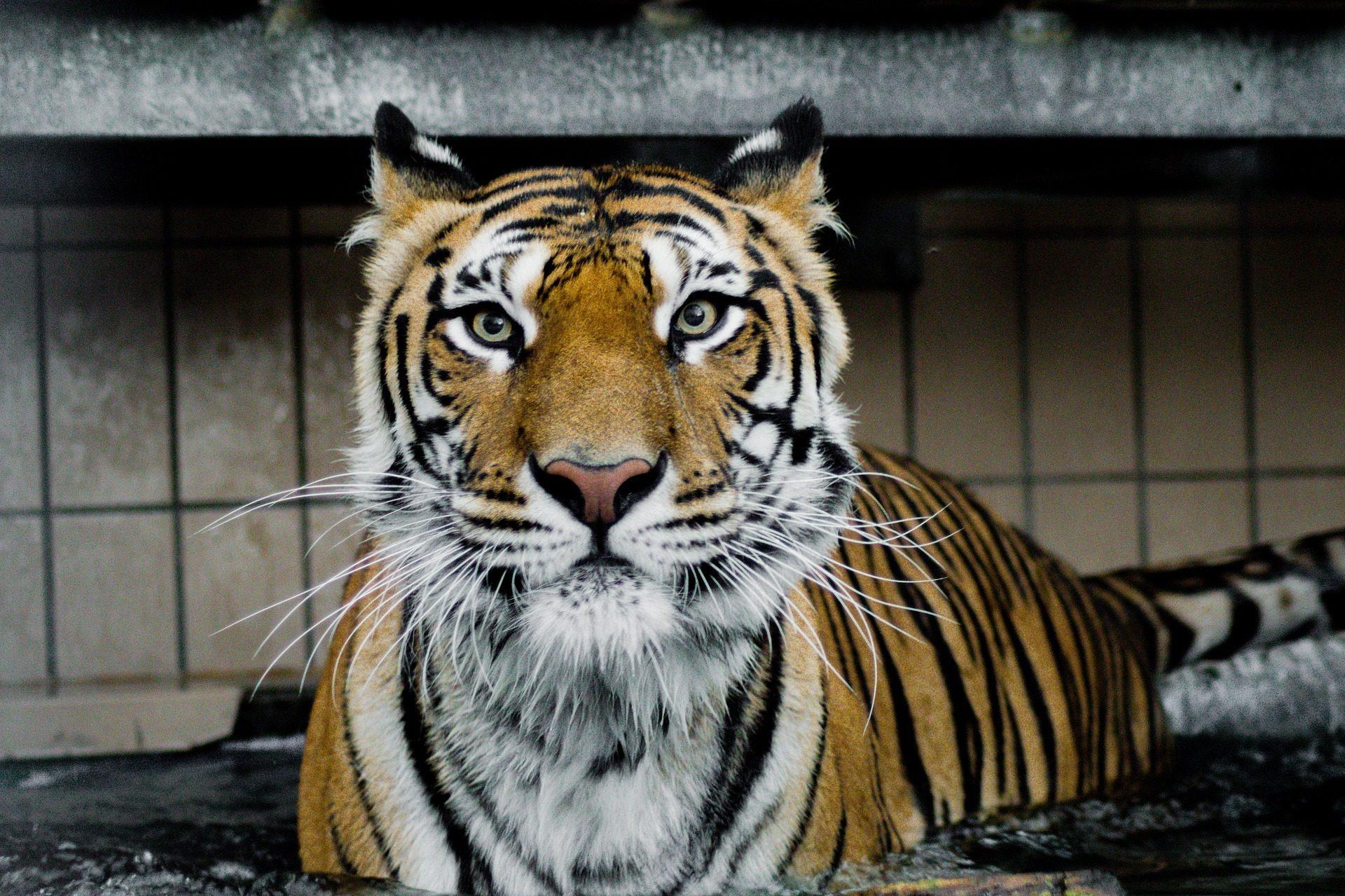 Tiger, Sibirische, Streifen, pelajo, Blick, Katze, Predator - Wallpaper HD - Prof.-falken.com