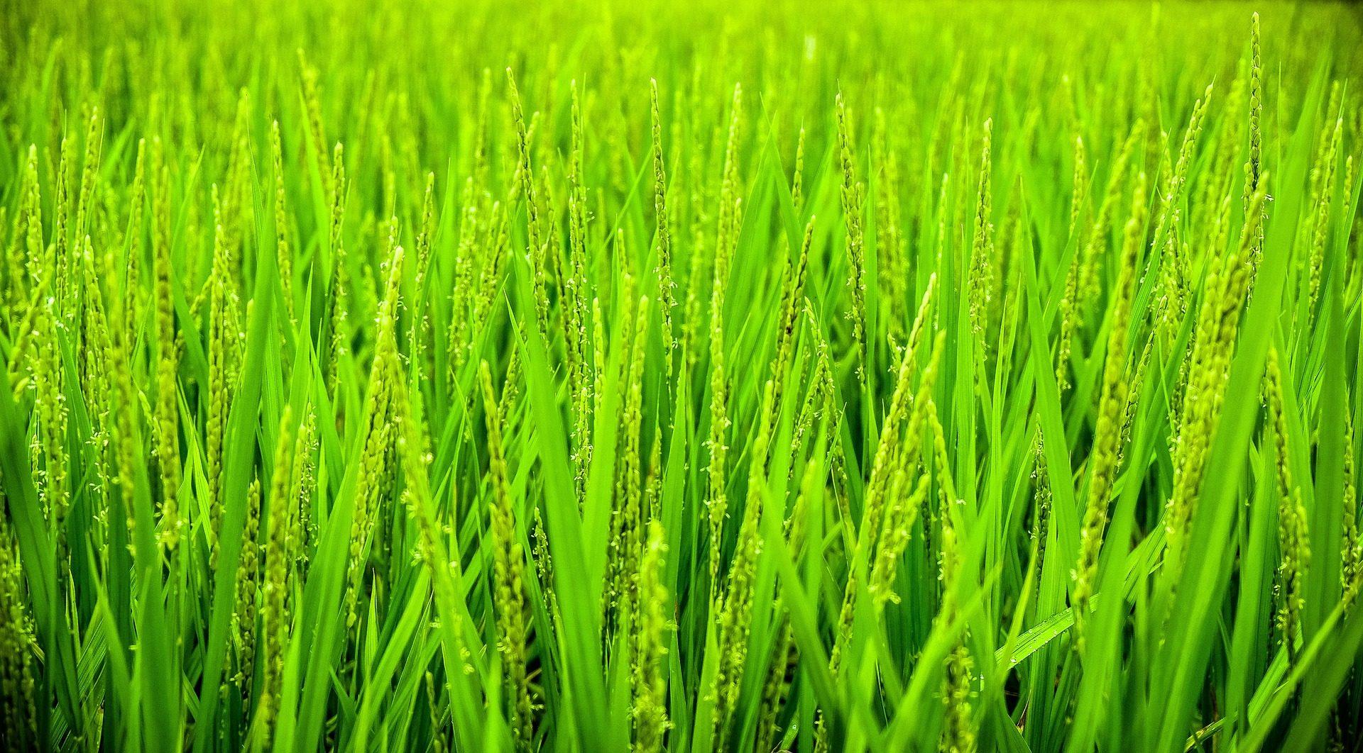 القمح, النباتات, الميدان, زراعة, الغطاء النباتي - خلفيات عالية الدقة - أستاذ falken.com
