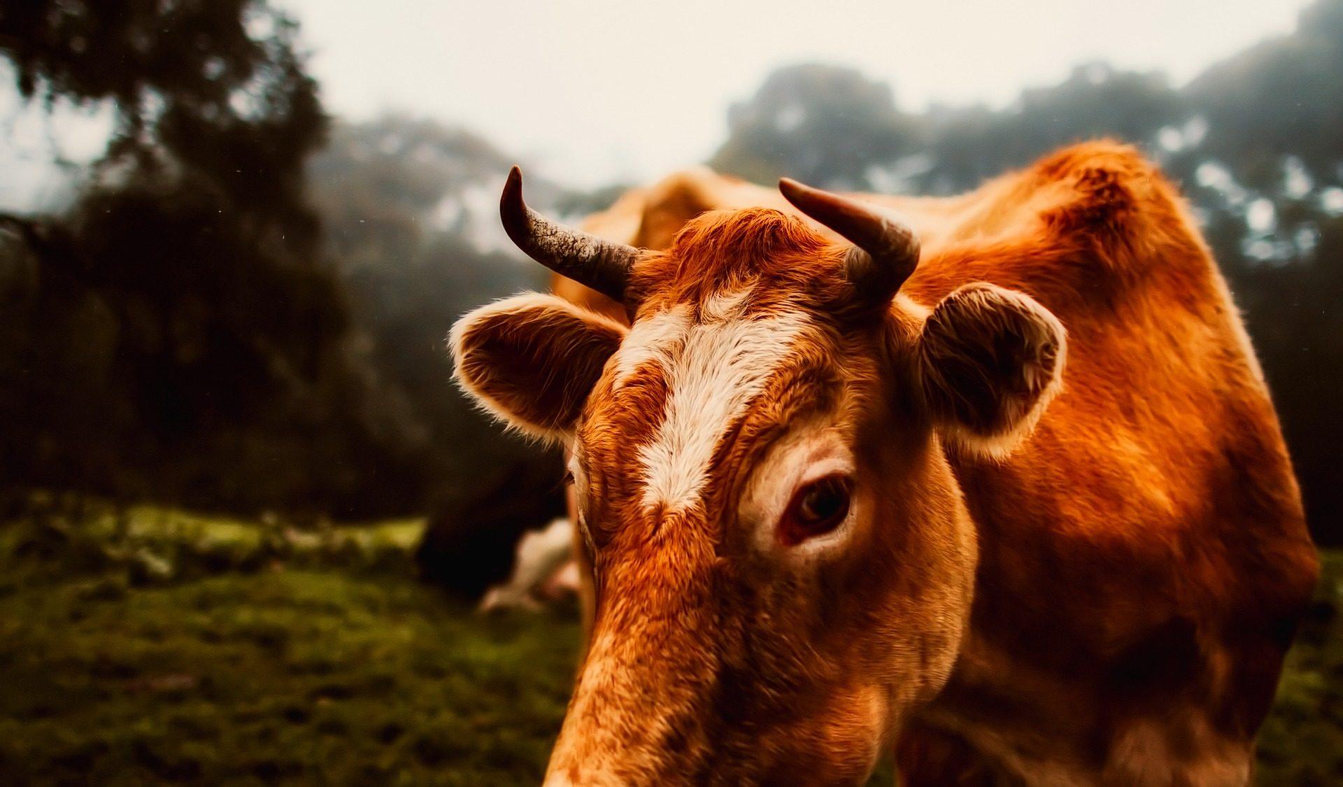 vaca, chifres, peles, Olha, campo, sobre - Papéis de parede HD - Professor-falken.com