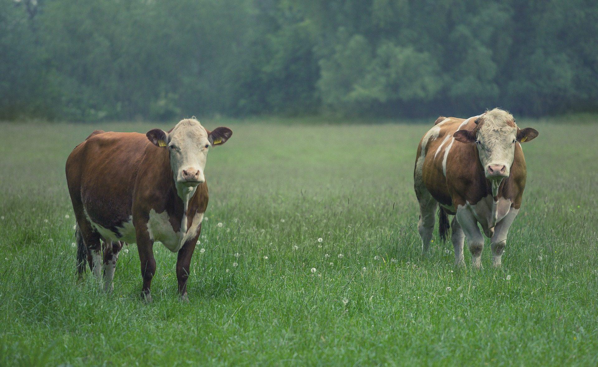 गायों, पशुधन, फ़ील्ड, चराई, वील - HD वॉलपेपर - प्रोफेसर-falken.com