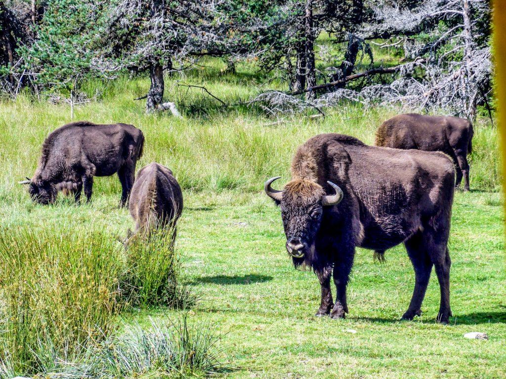 bisontes, 树木, 字段, 杂草, 草, 1801171809