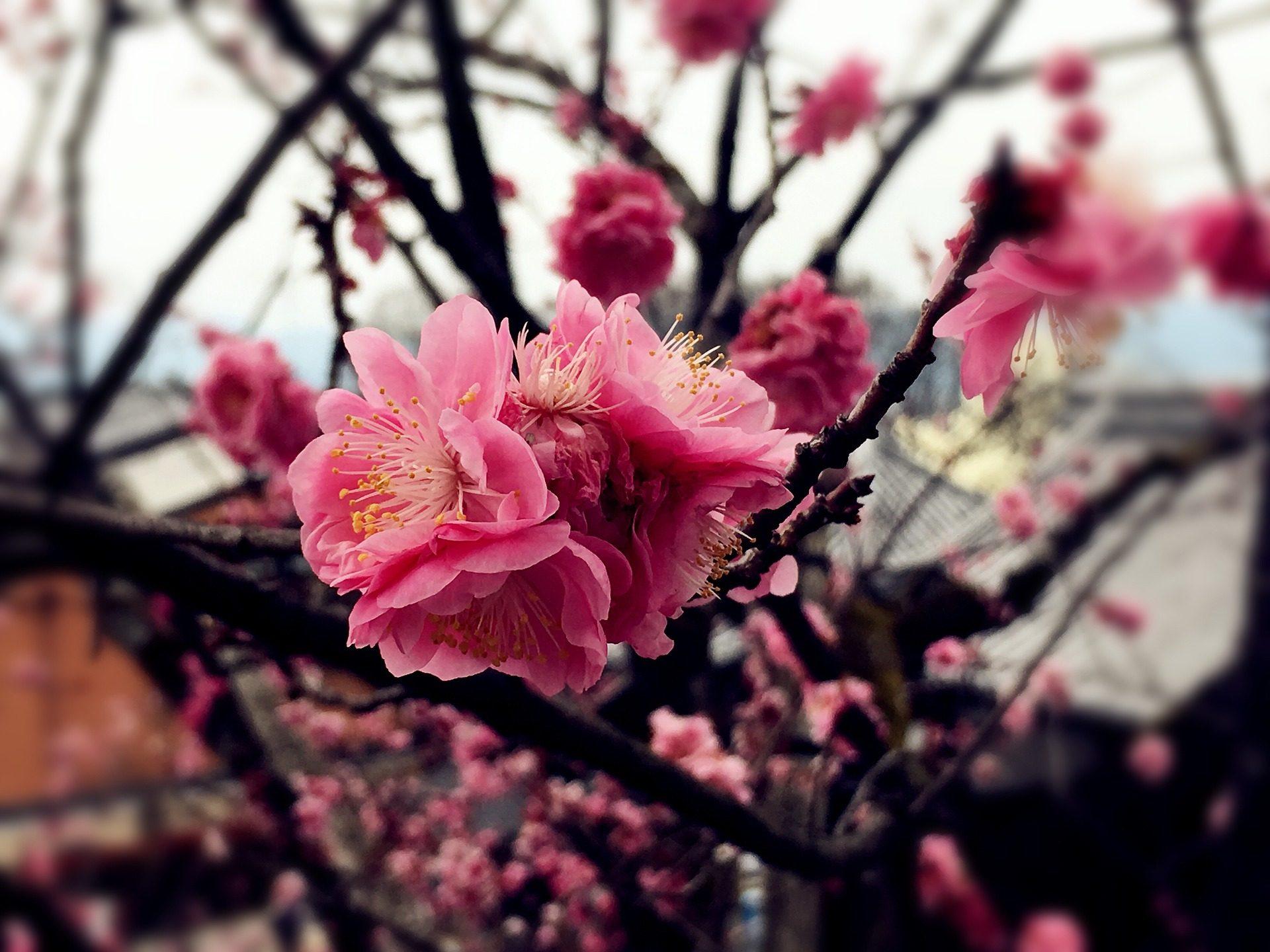 árbol Japonés Sakura Flor De Cerezo Aislada Fotografía De