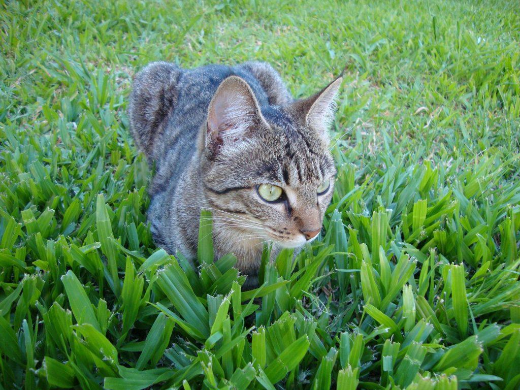 猫, 宠物, 猫科动物, 草坪, 花园, 1801131701