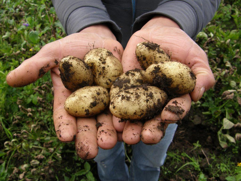 土豆, 块茎, 地球, 果园, 农民, 手, 1801110850