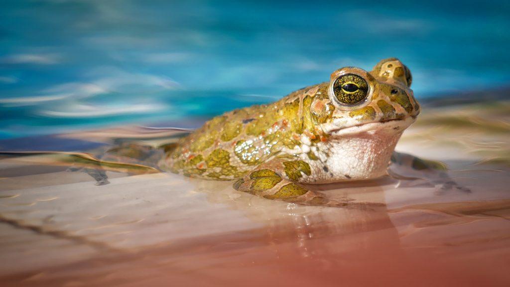 rana, sapo, anfibio, agua, piscina, 1801182351