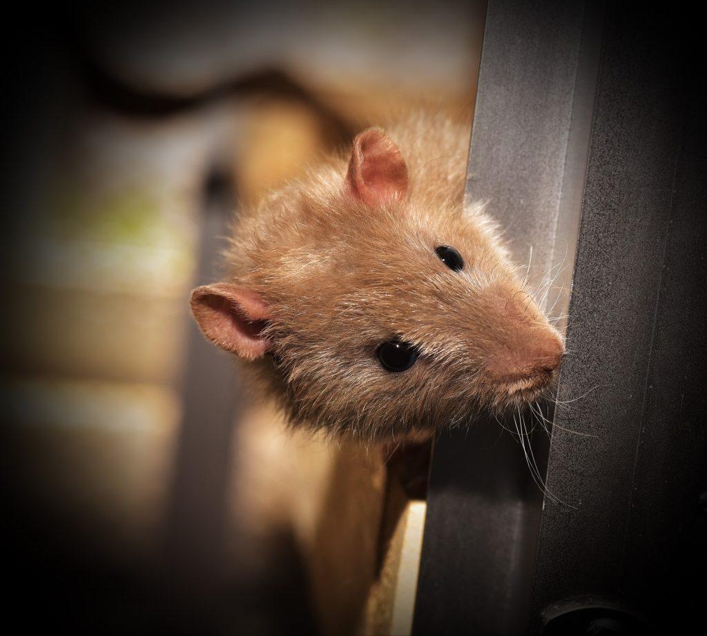 鼠标, rata, 啮齿类动物, 仓鼠, 晶须, 1801152128