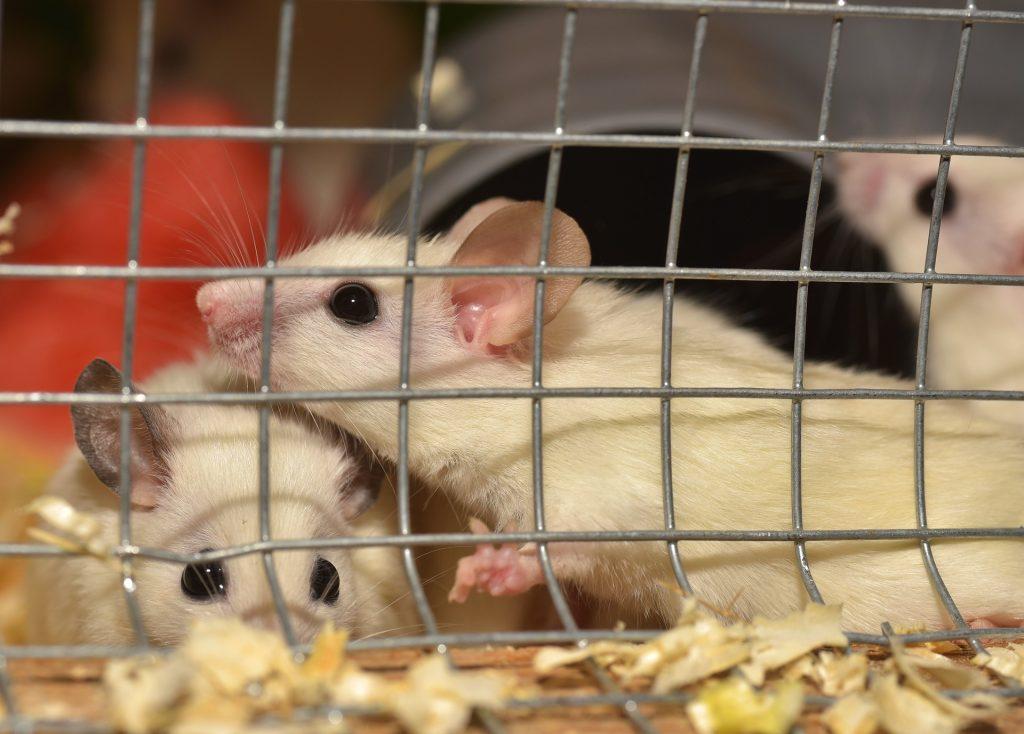 小鼠, 啮齿类动物, jaula, 宠物, hamsters, 1801131111