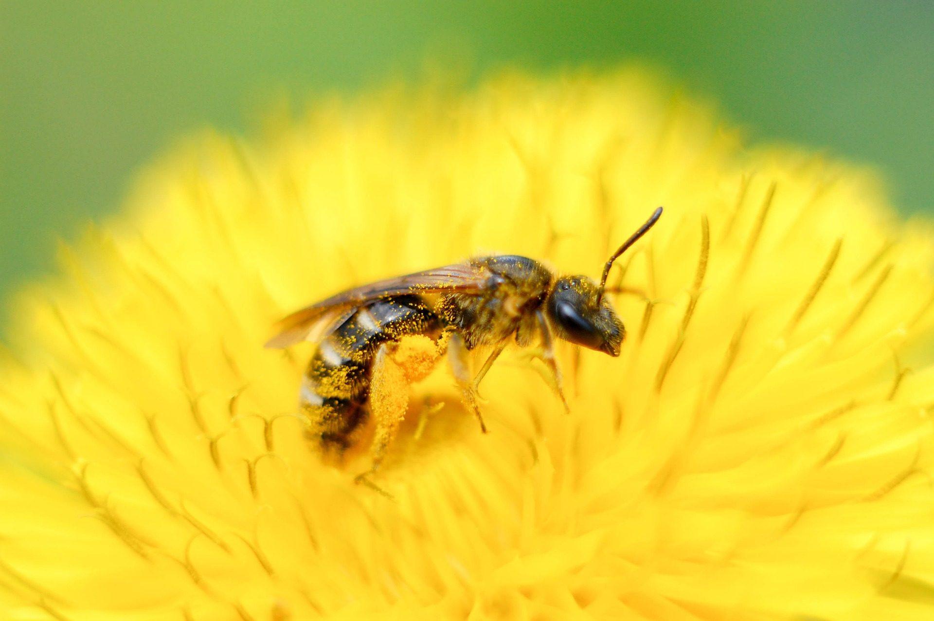 मधुमक्खी, ततैया, फूल, पराग, कीट - HD वॉलपेपर - प्रोफेसर-falken.com