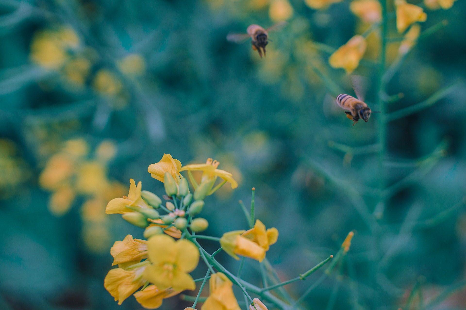 蜜蜂, 花, 植物, 授粉, 关于 - 高清壁纸 - 教授-falken.com