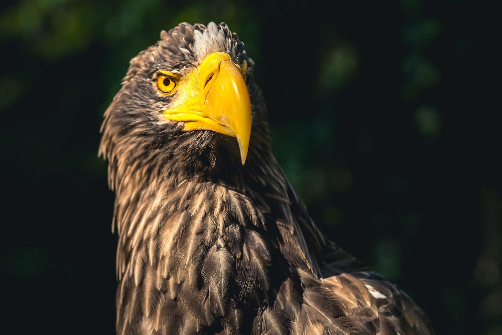 Águila, Ave, Raptor, Gefieder, Peak, Blick - Wallpaper HD - Prof.-falken.com