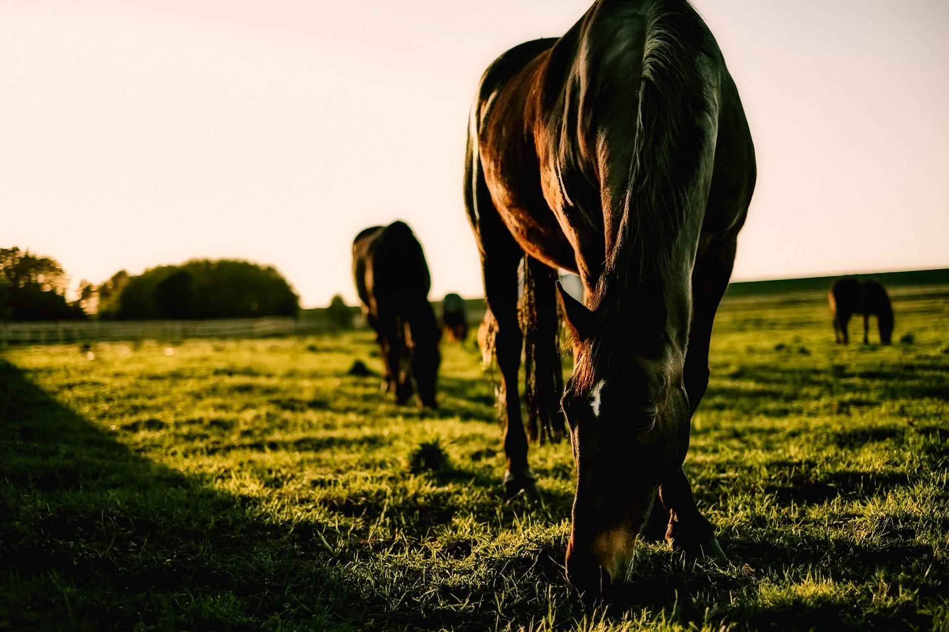 caballos, pradera, pastar, campo, hieba, atardecer - Fondos de Pantalla HD - professor-falken.com
