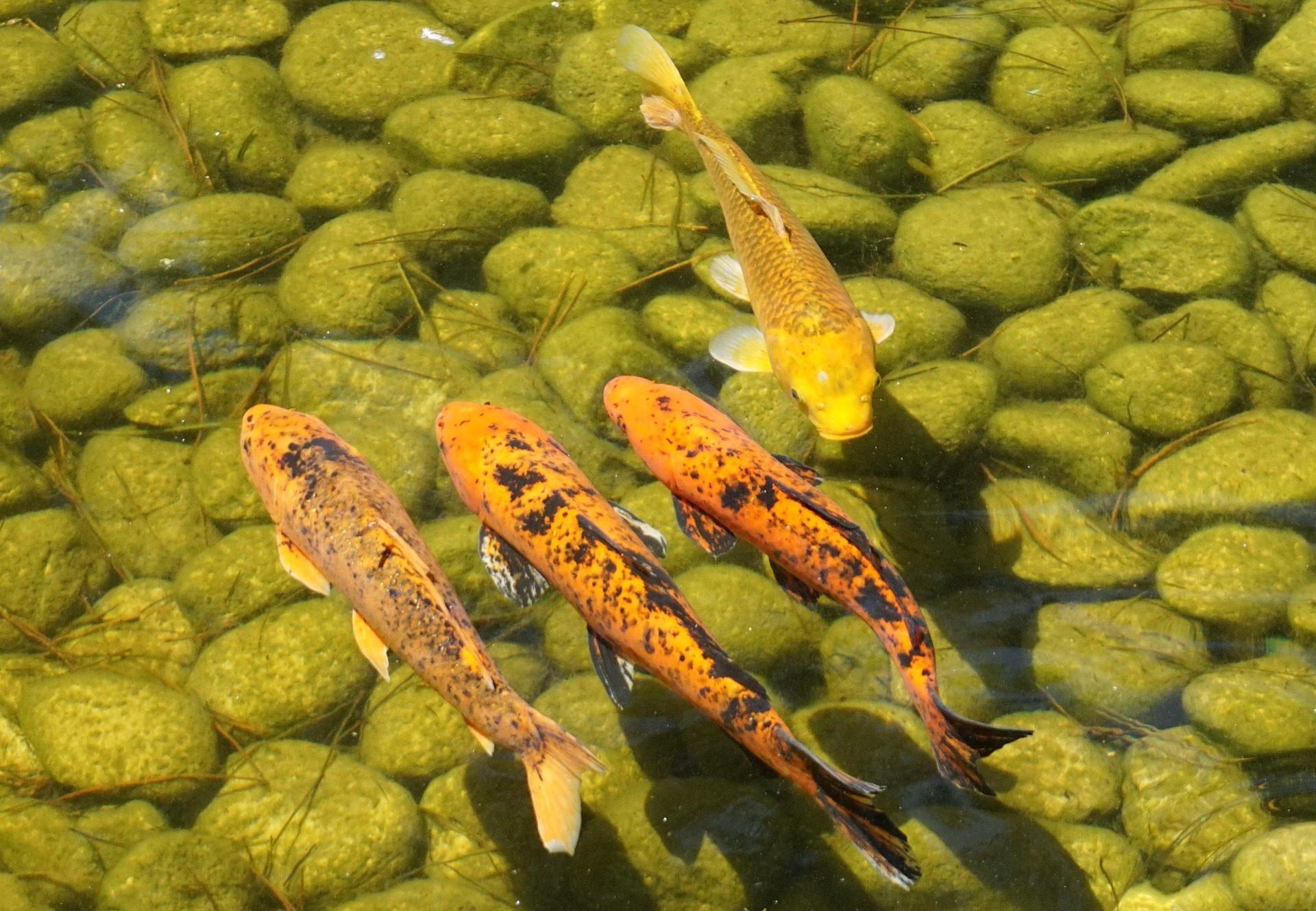 Fondo de pantalla de carpas koi peces estanque piedras Comida peces estanque