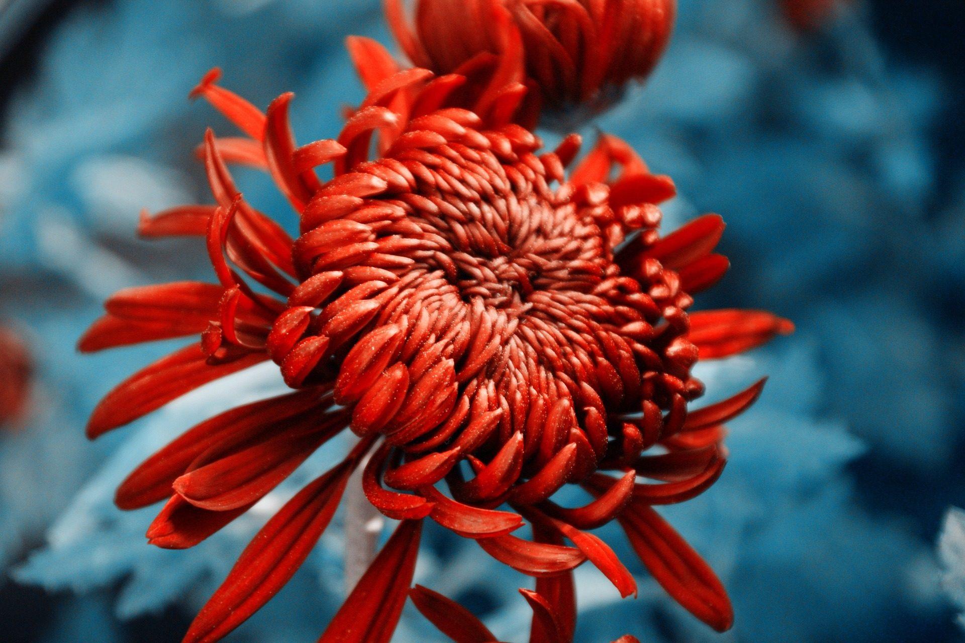 Хризантема, цветок, лепестки, Блум, красочные, о - Обои HD - Профессор falken.com