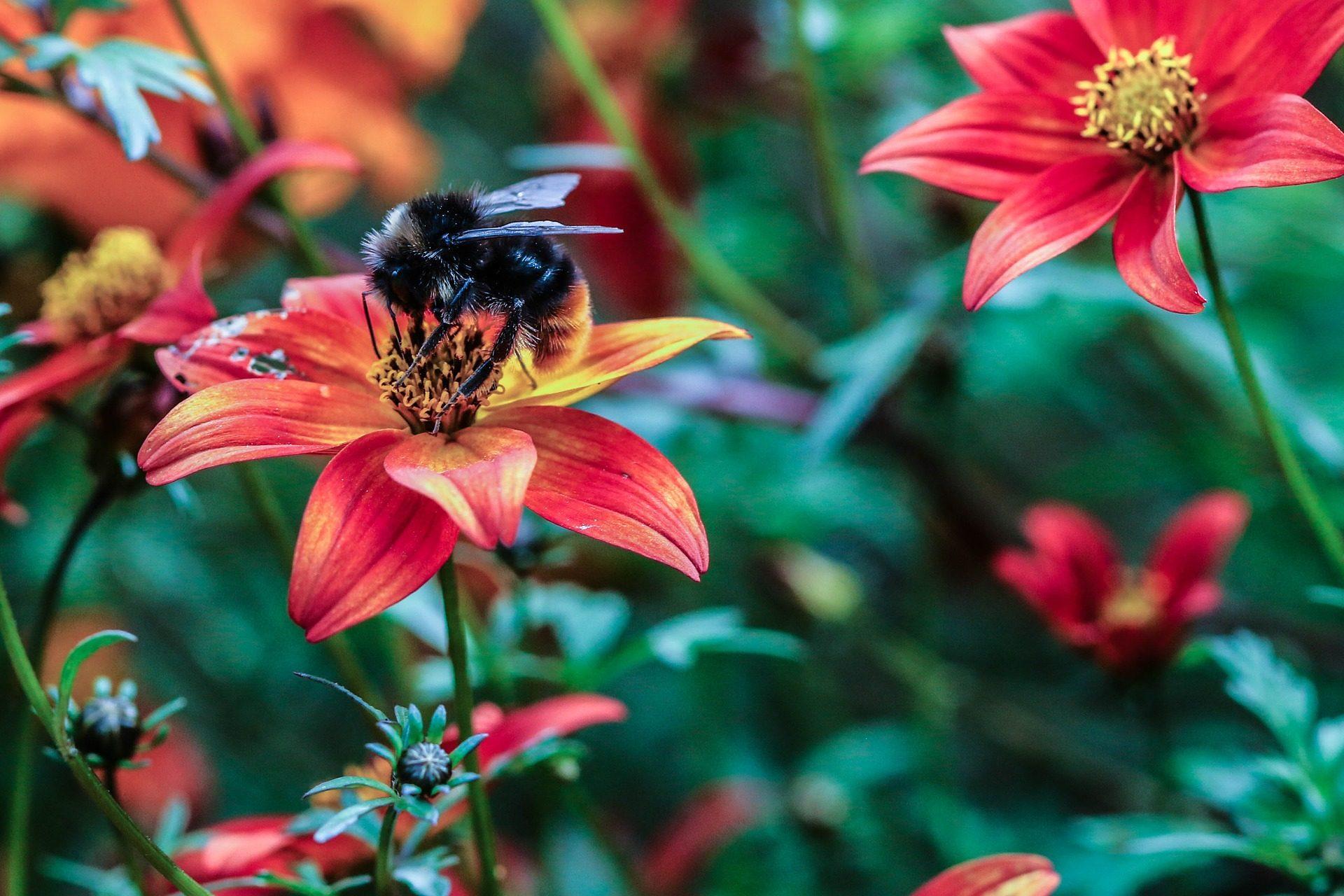 फूल, मधुमक्खी, भौंरा, पंखुड़ियों, परागण, के बारे में - HD वॉलपेपर - प्रोफेसर-falken.com