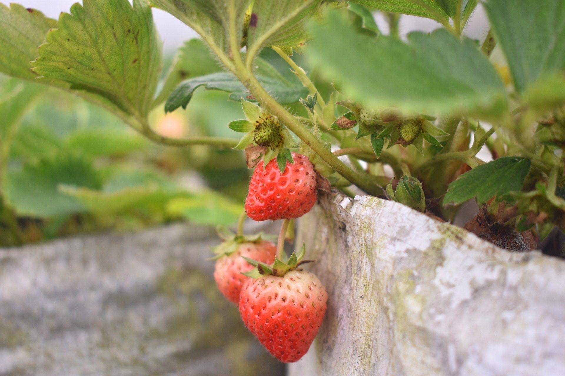 स्ट्रॉबेरी, भू-तल, फल, बर्तन, गार्डन - HD वॉलपेपर - प्रोफेसर-falken.com