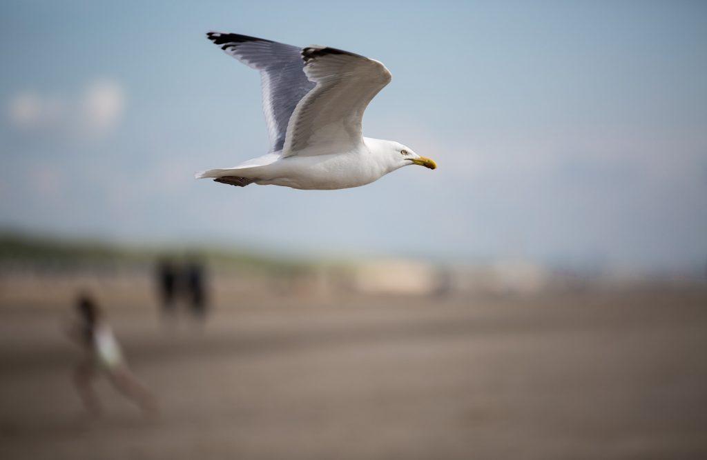 gaviota, ave, pájaro, vuelo, alas, envergadura, 1802071324