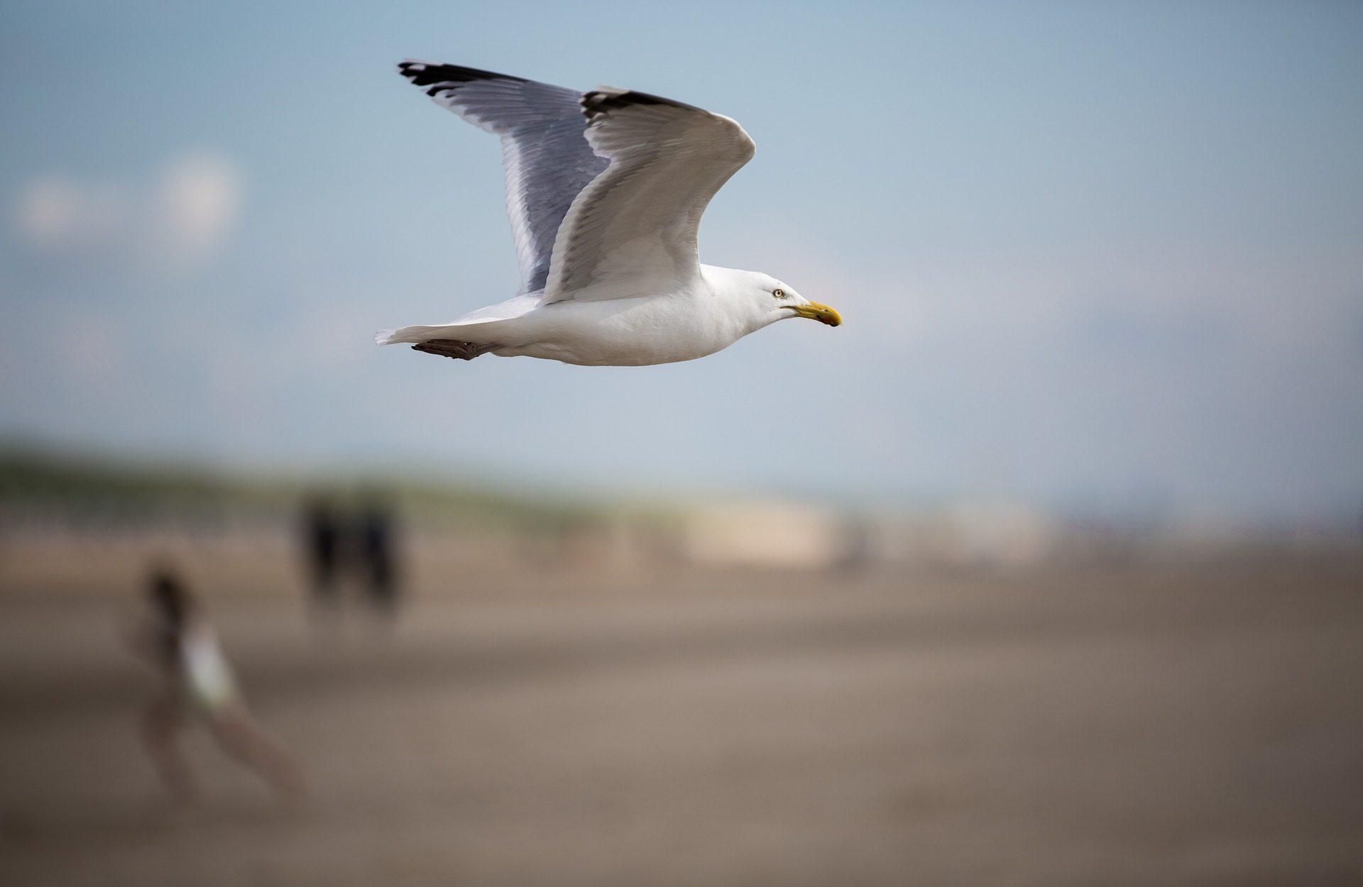 Γλάρος, Λ., Πουλί, πτήση, φτερά, Εκπέτασμα πτέρυγας - Wallpapers HD - Professor-falken.com