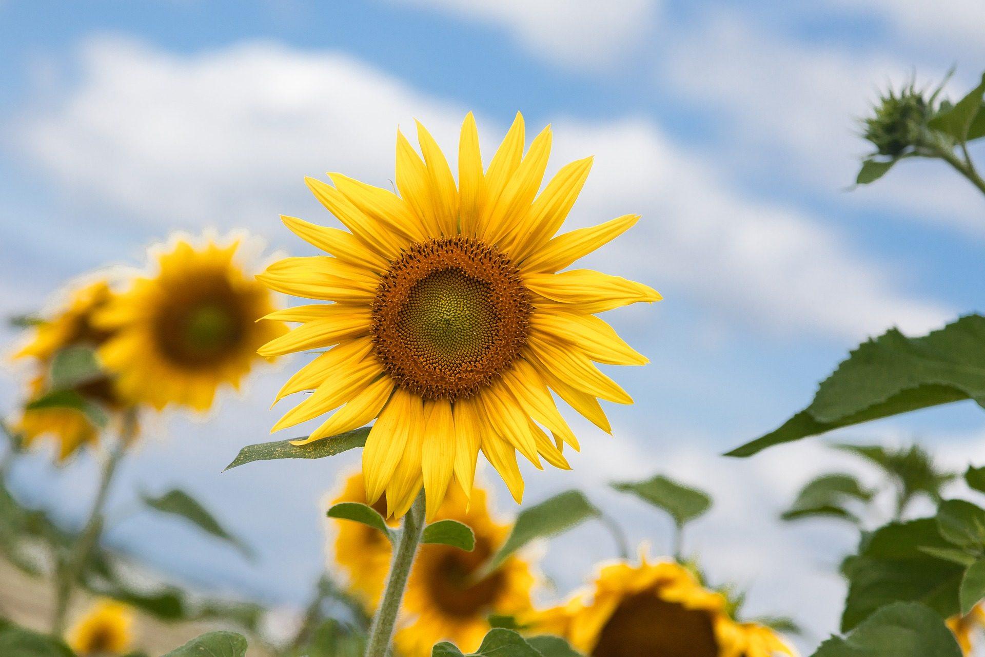 عباد الشمس, زهرة, زراعة, مزرعة, تلات - خلفيات عالية الدقة - أستاذ falken.com