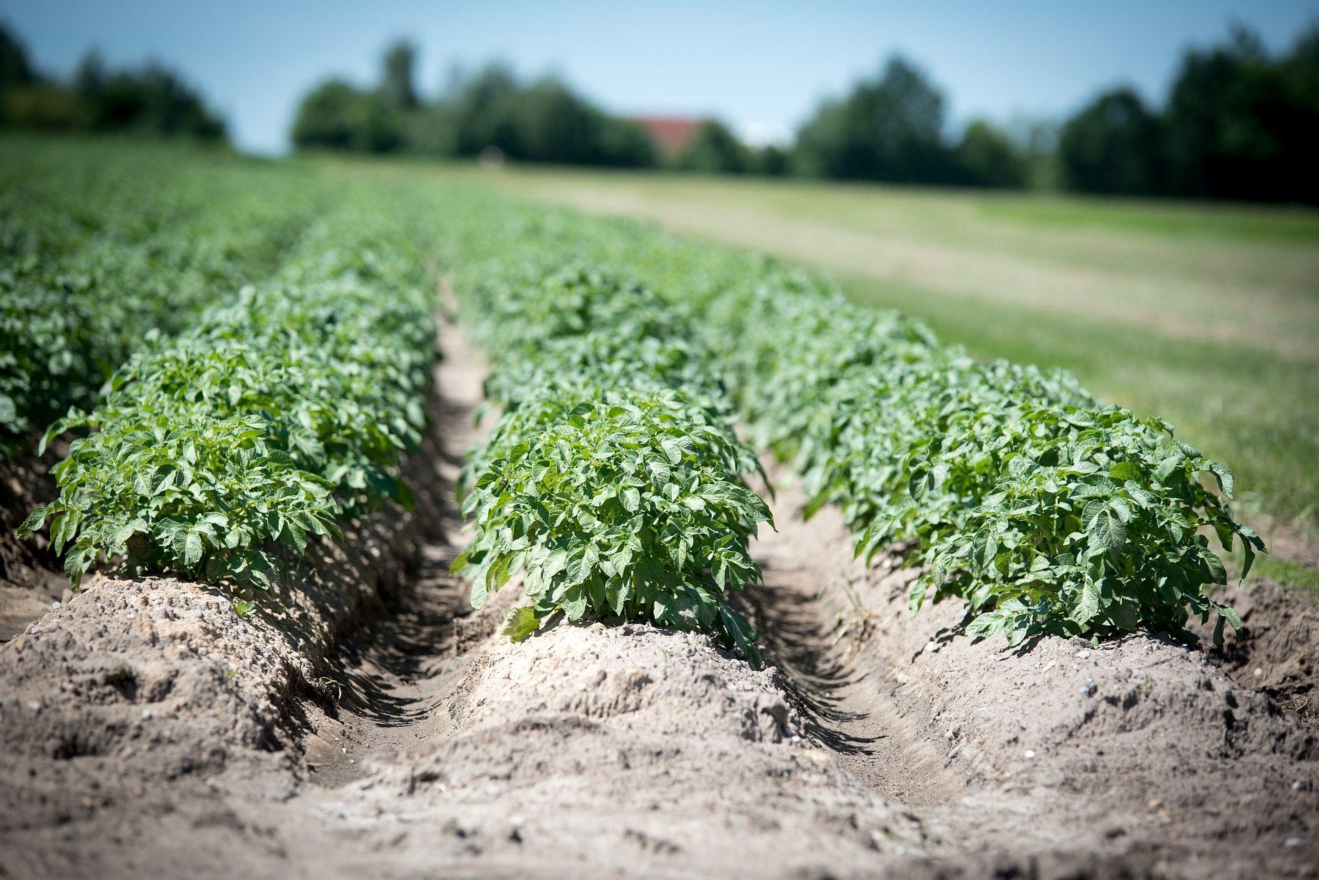 huerta, agricultura, plantación, patatas, campo - Fondos de Pantalla HD - professor-falken.com