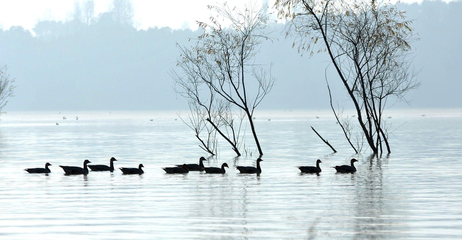 Lake, Dawn, Nebel, Enten, Baum - Wallpaper HD - Prof.-falken.com