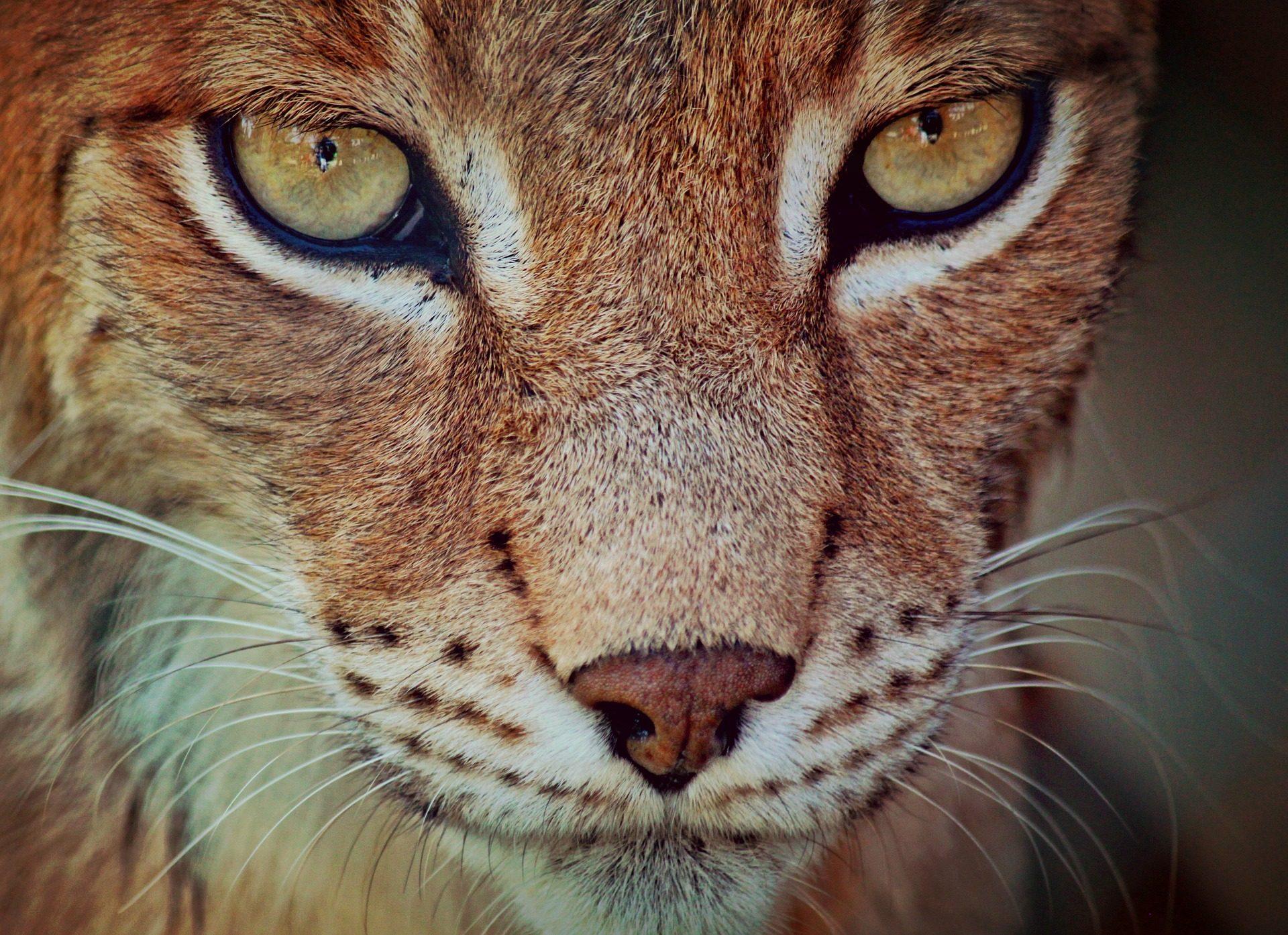 Lince, Predator, felino, sguardo, baffi, muso - Sfondi HD - Professor-falken.com