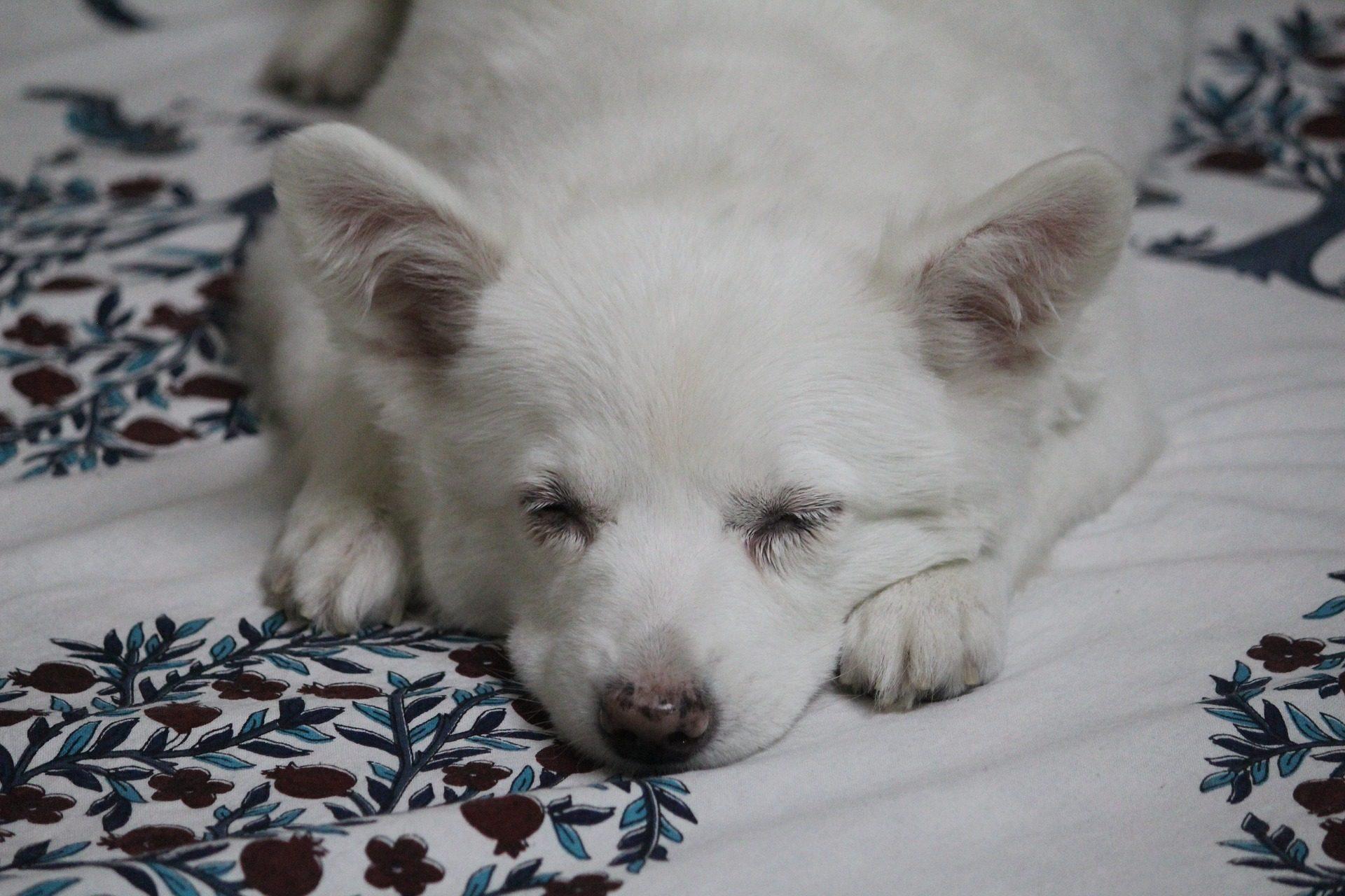 Hund, Haustier, schlafen, Rest, Entspannen Sie sich - Wallpaper HD - Prof.-falken.com